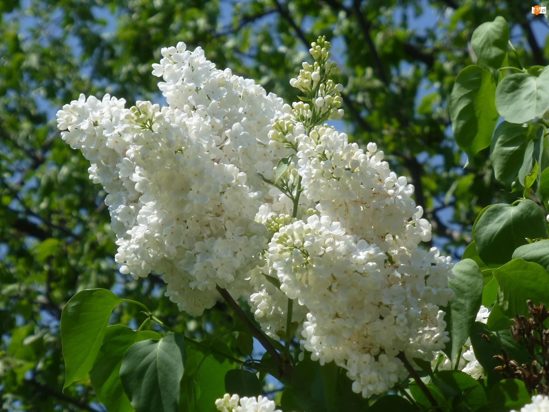 Bzu, Białe, Kwiaty