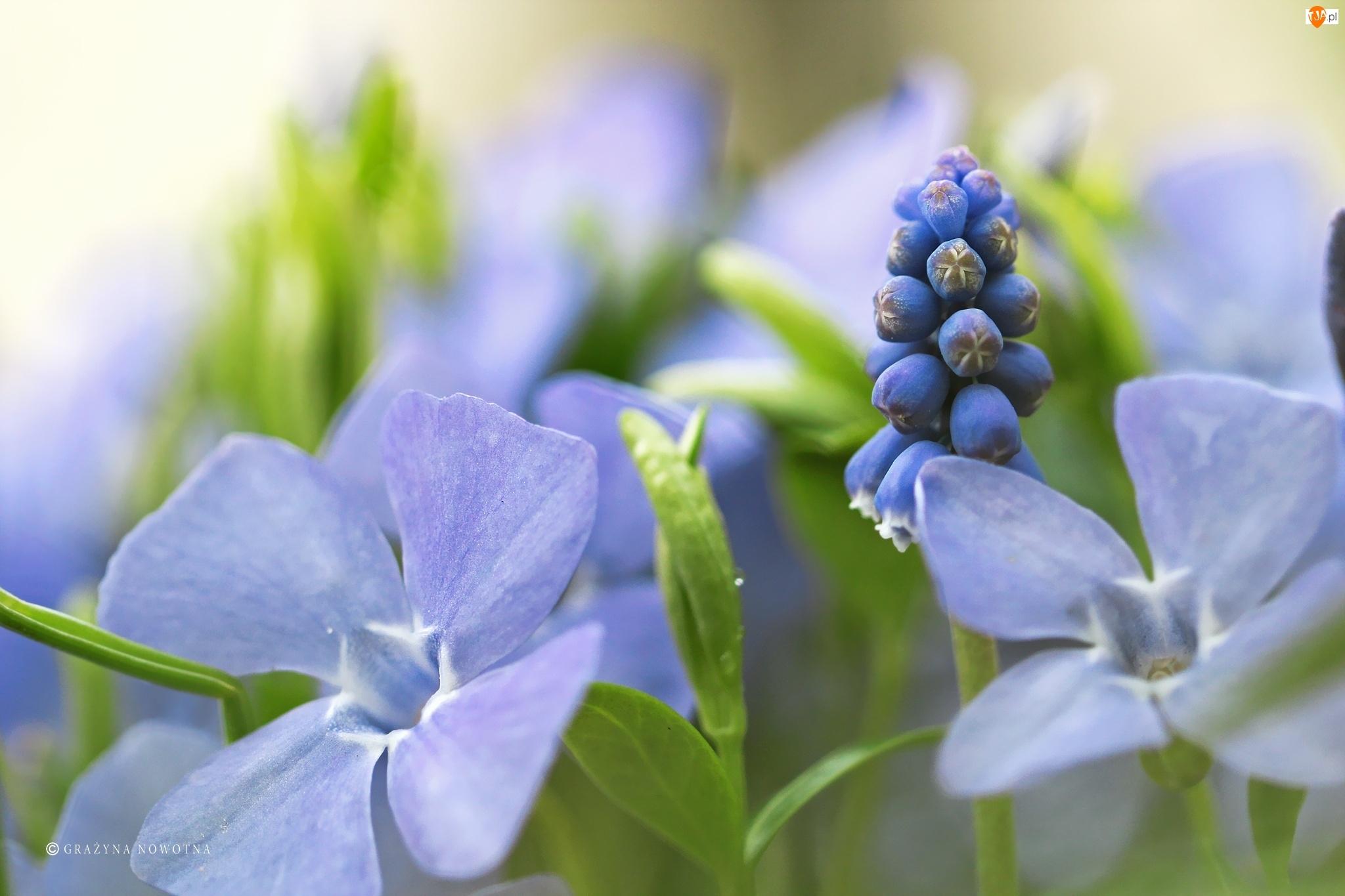 Kwiaty, Szafirek, Barwinki