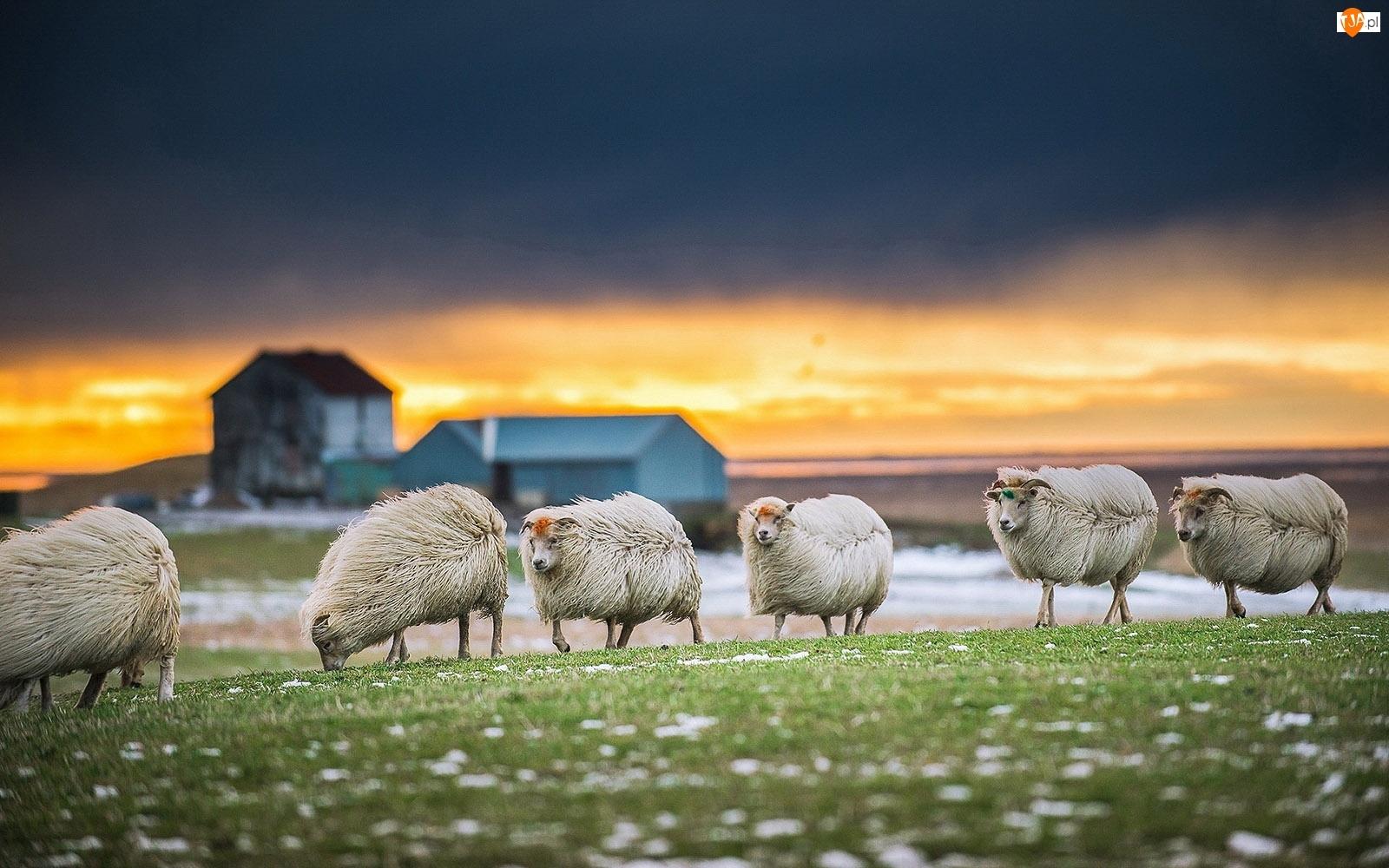 Trawa, Owce, Apenińskie
