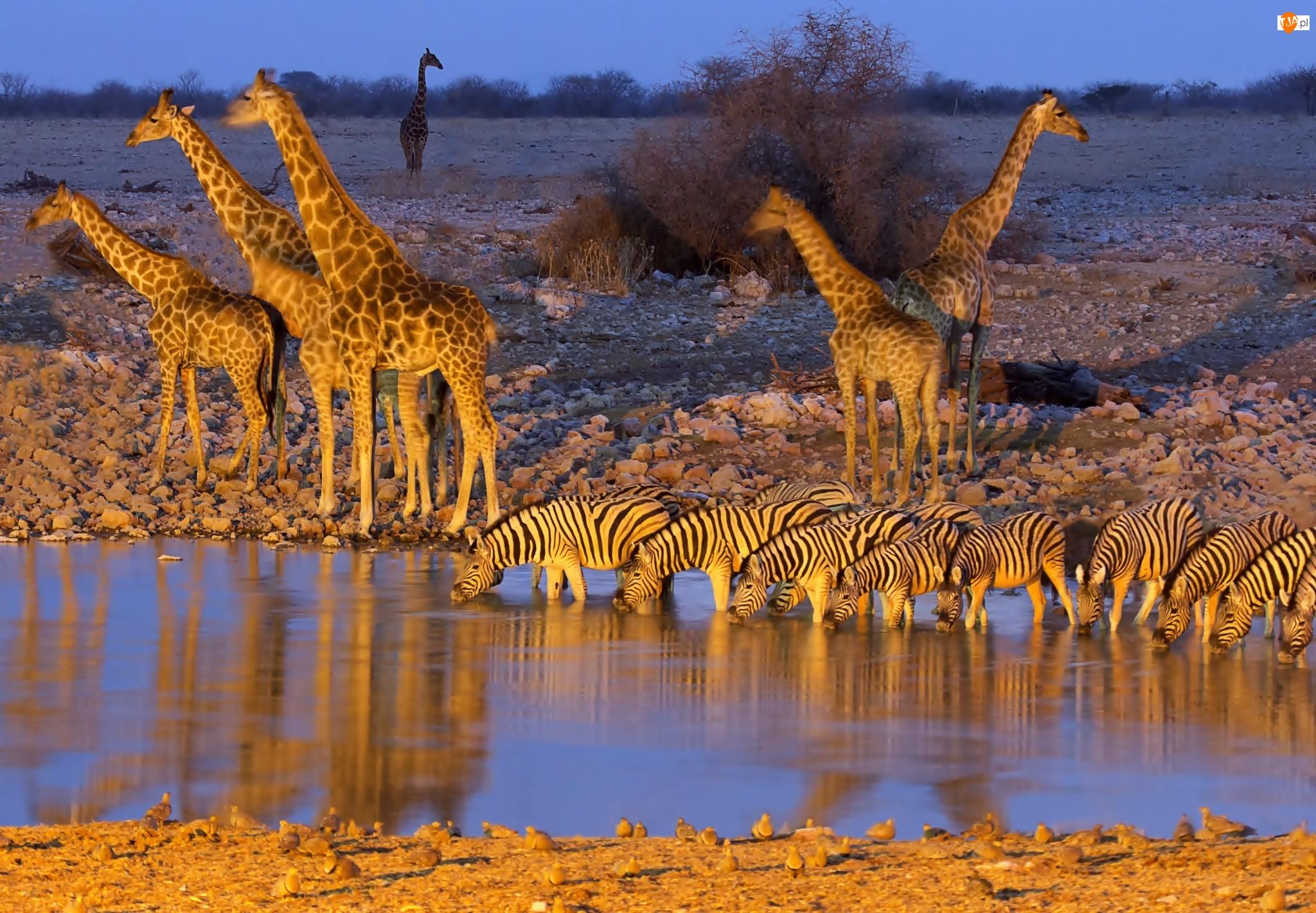 Rzeka, Zebry, Żyrafy