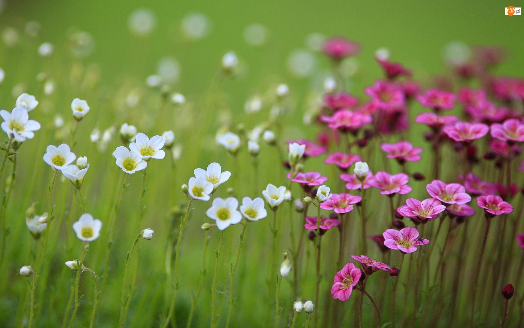Bodziszek, Kwiatki, Polne