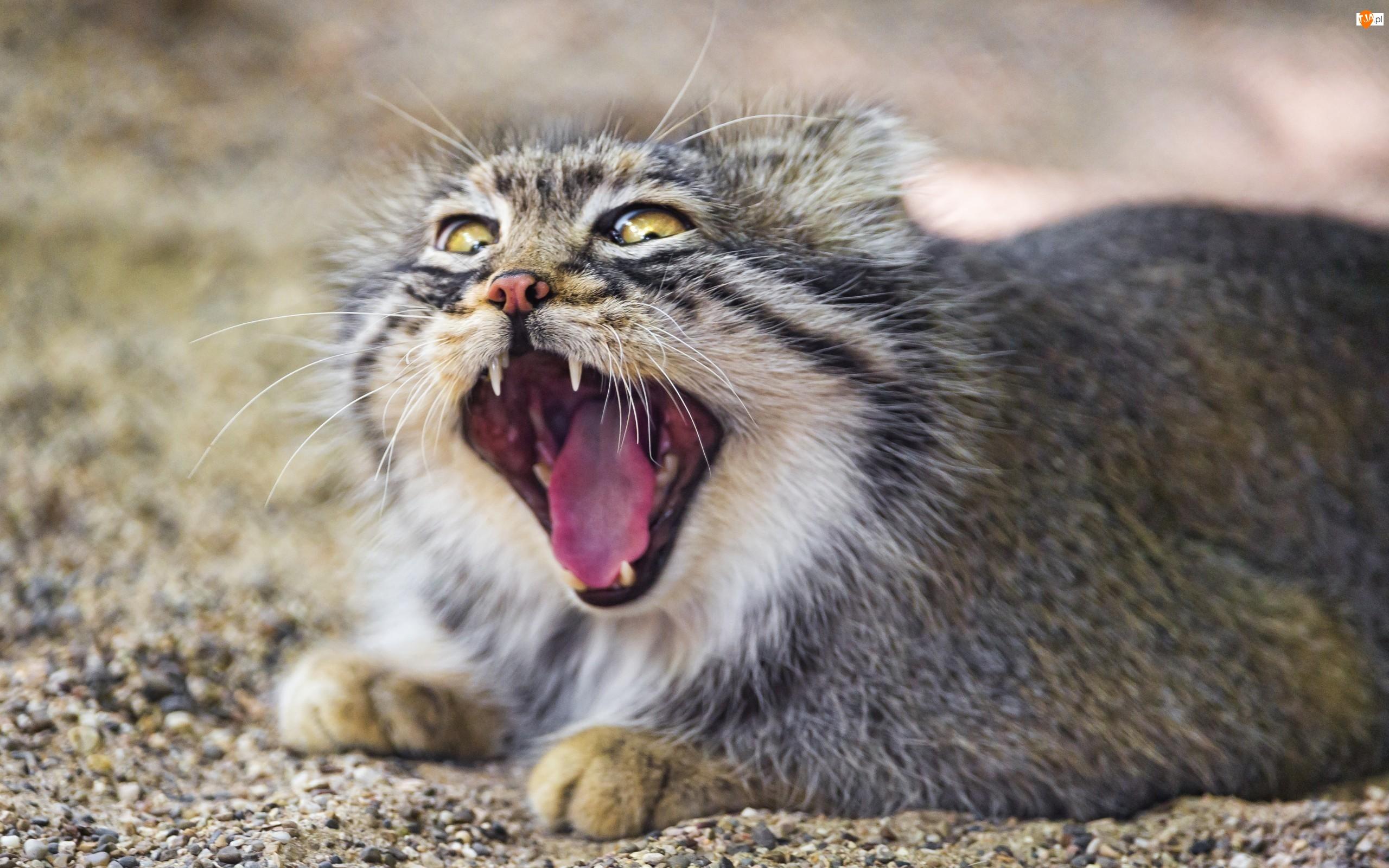 Dziki, Kot