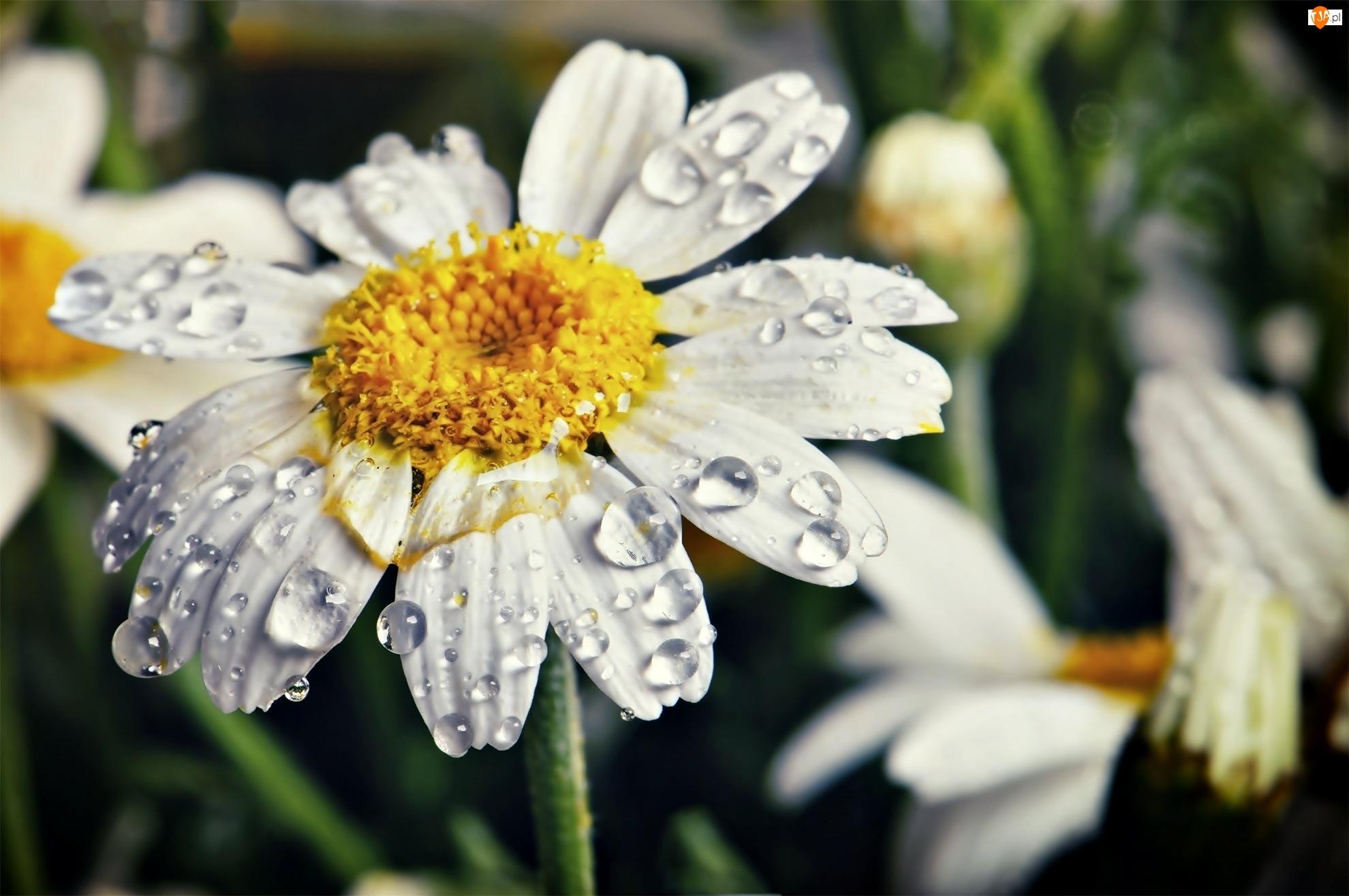 Biały, Krople, Kwiatek, Margerytka