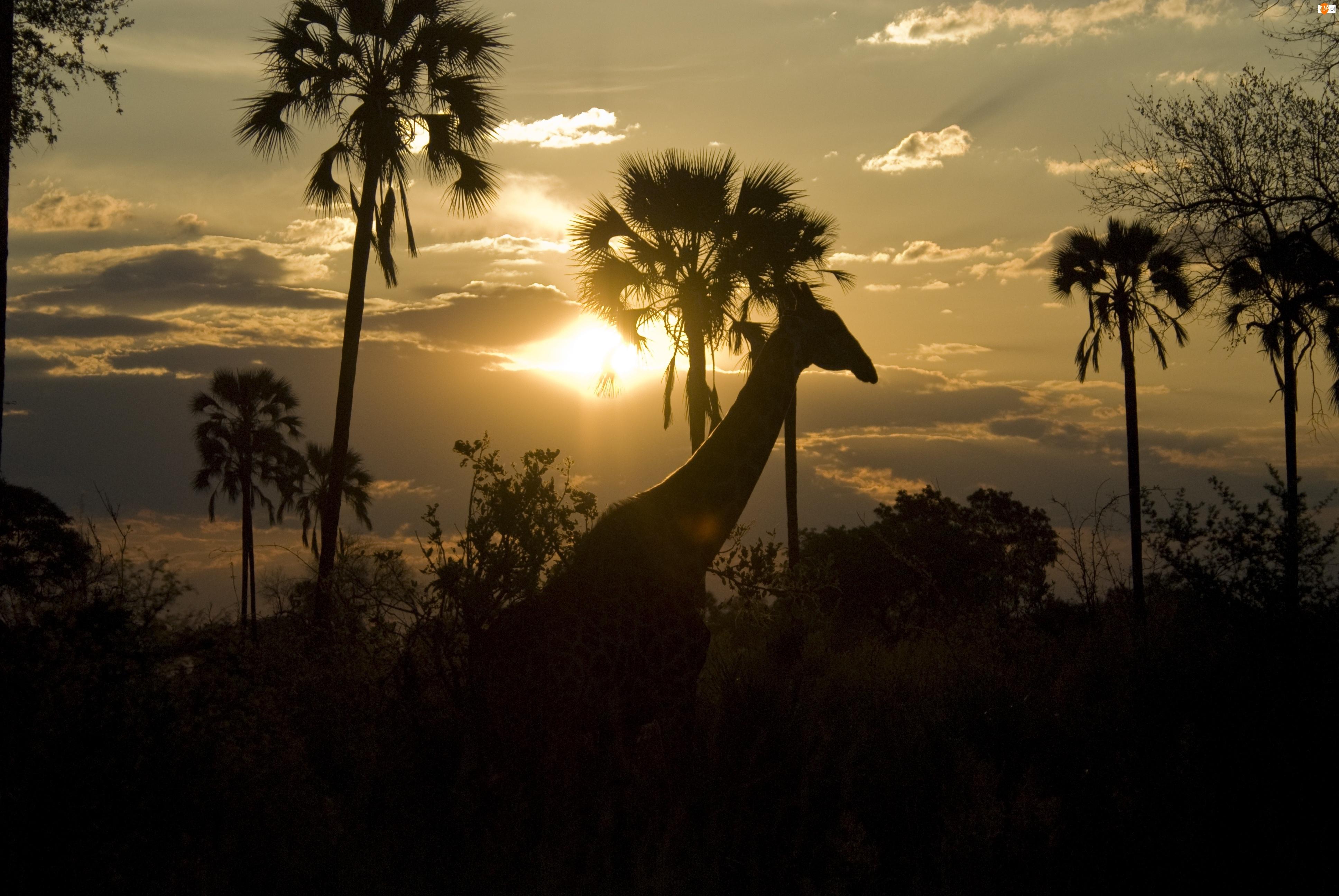 Słońce, Żyrafa, Palmy