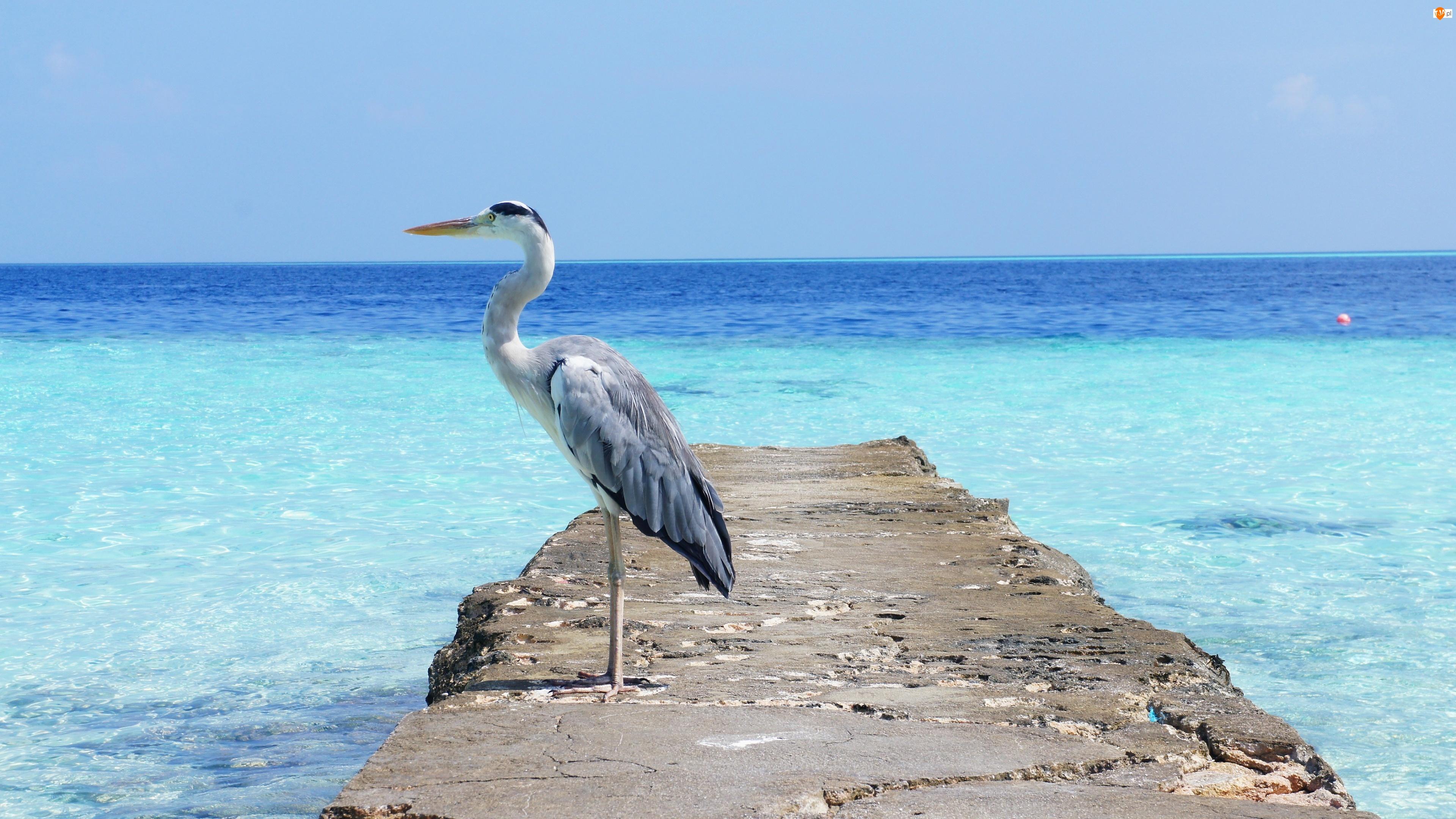 Czapla, Morze
