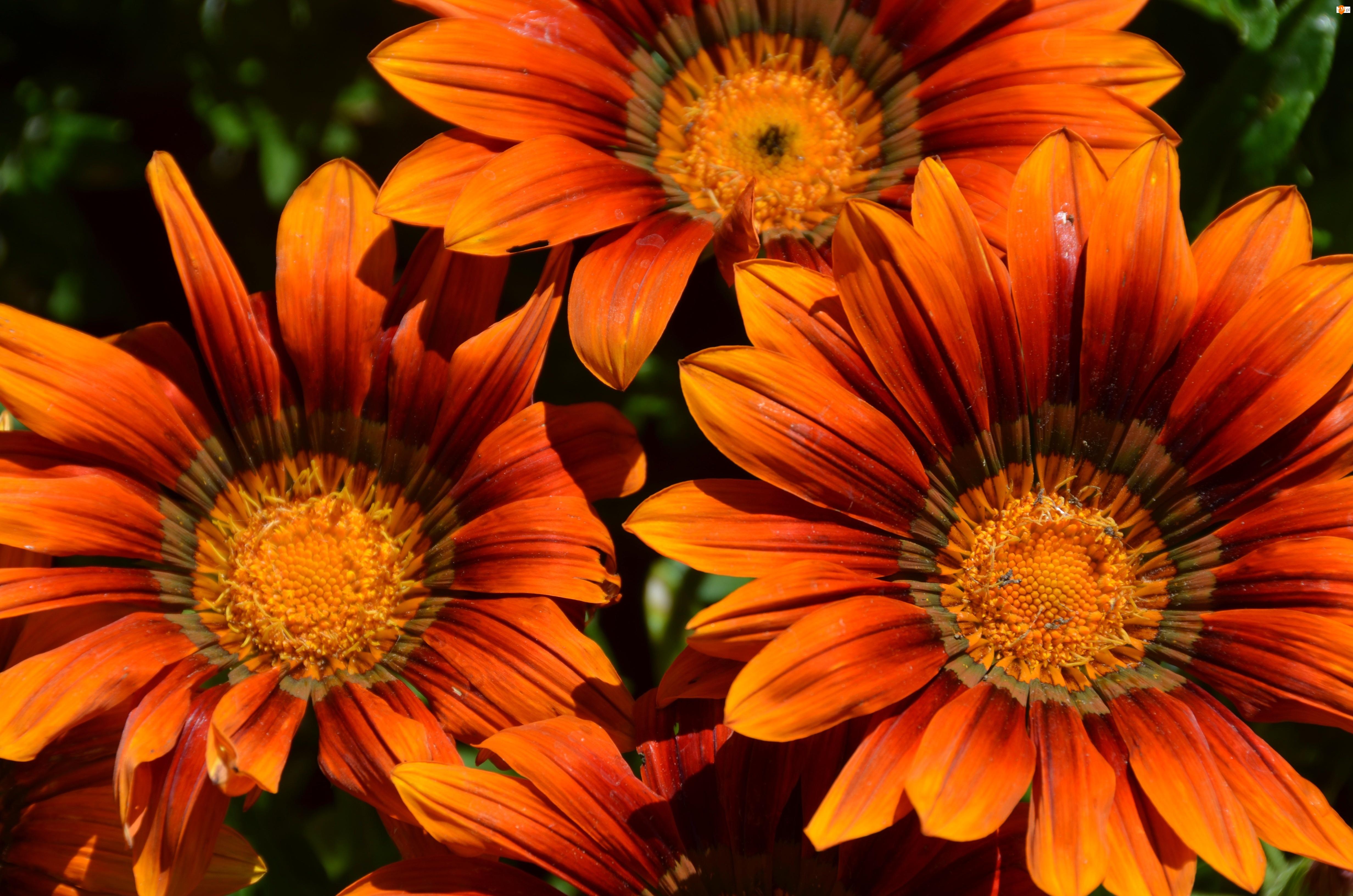 Gazanie, Pomarańczowe, Kwiaty