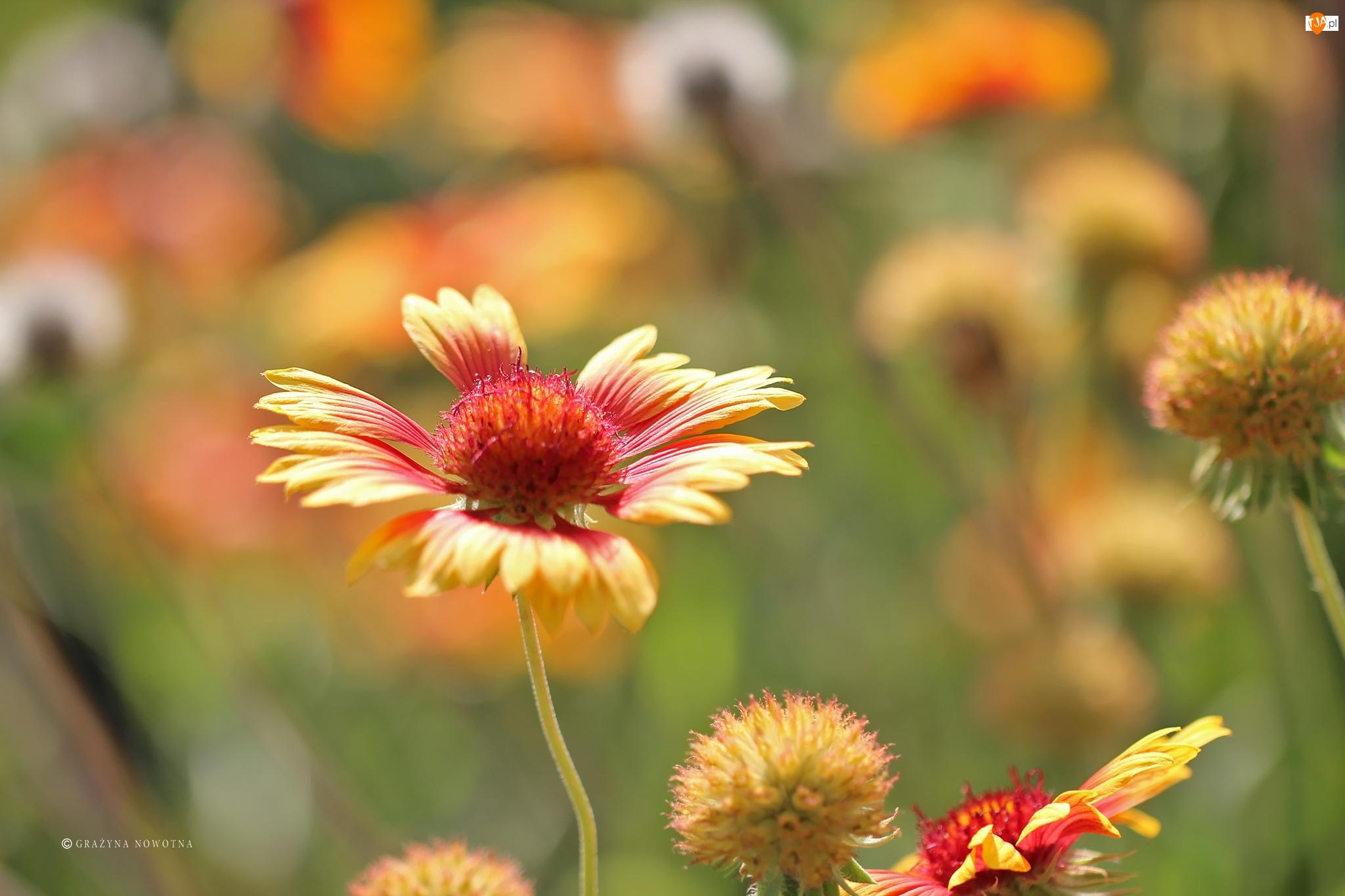 Gailardia oścista, Kwiatek, Lato