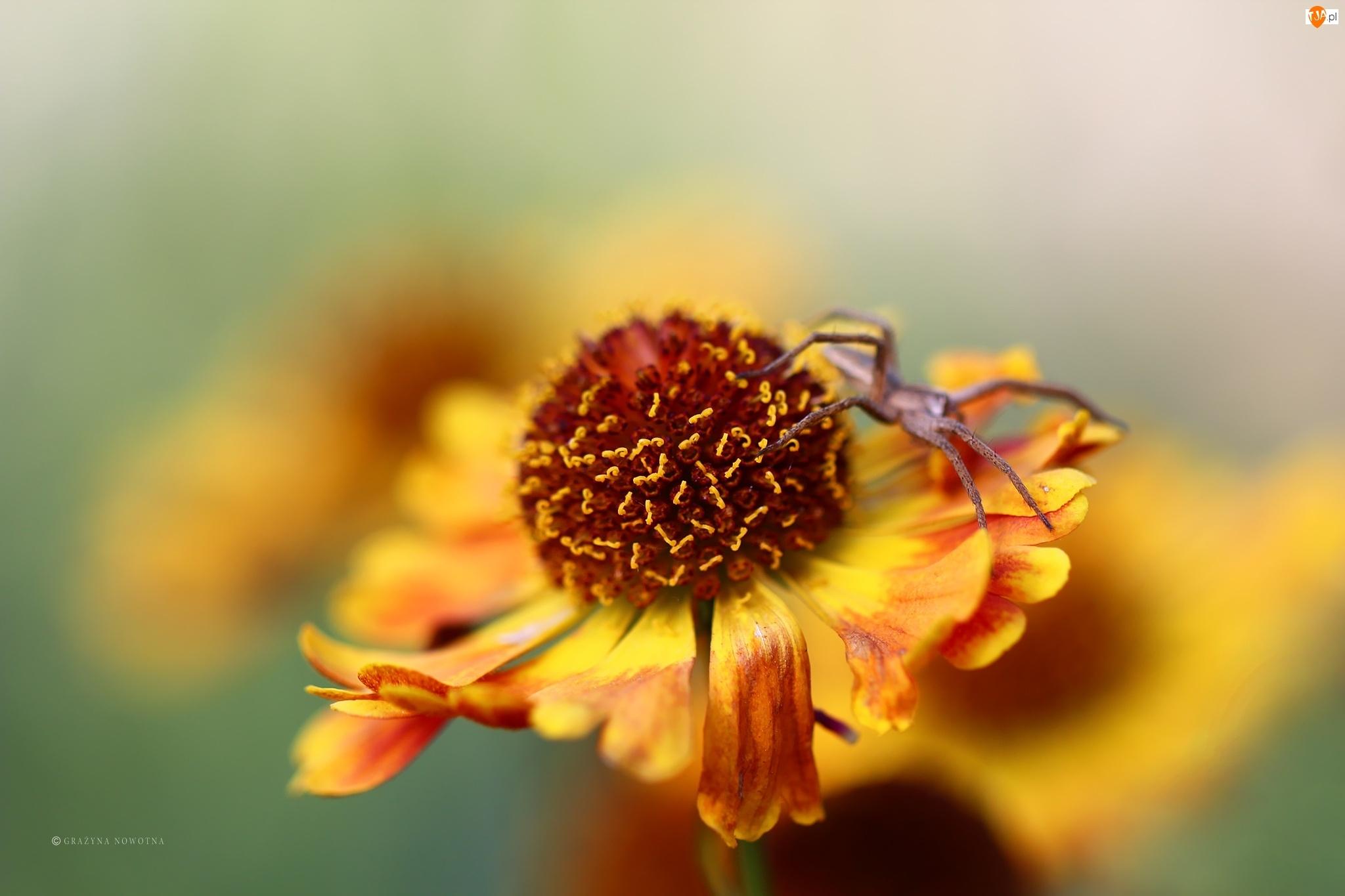 Pająk, Dzielżan, Kwiat