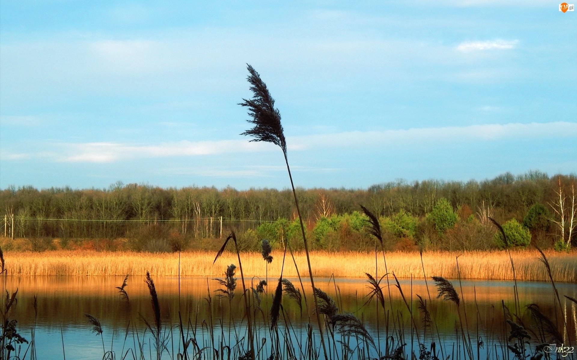 Drzewa, Jezioro, Trzcina