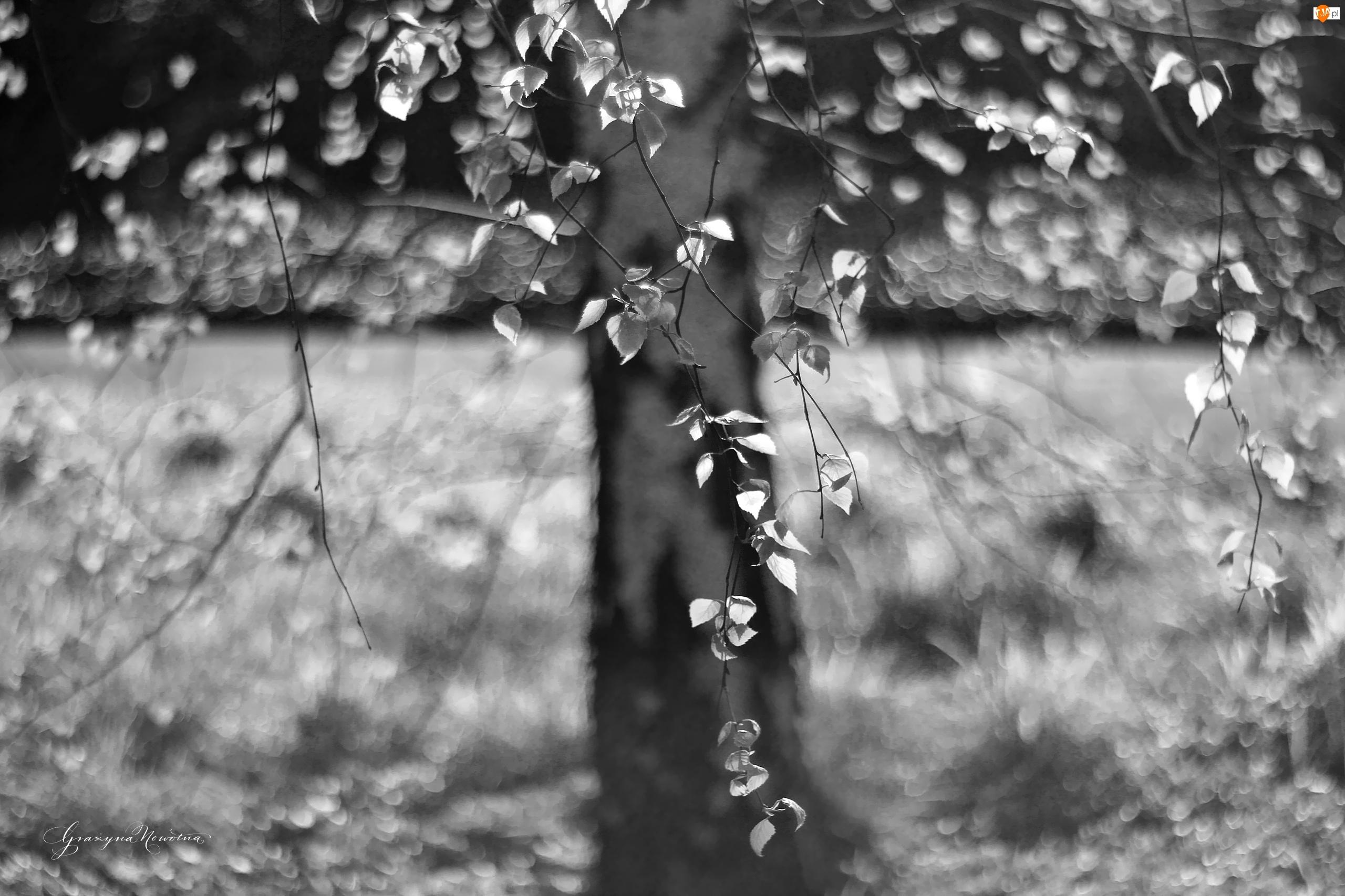 Czarno - Biały, Brzoza, Drzewo