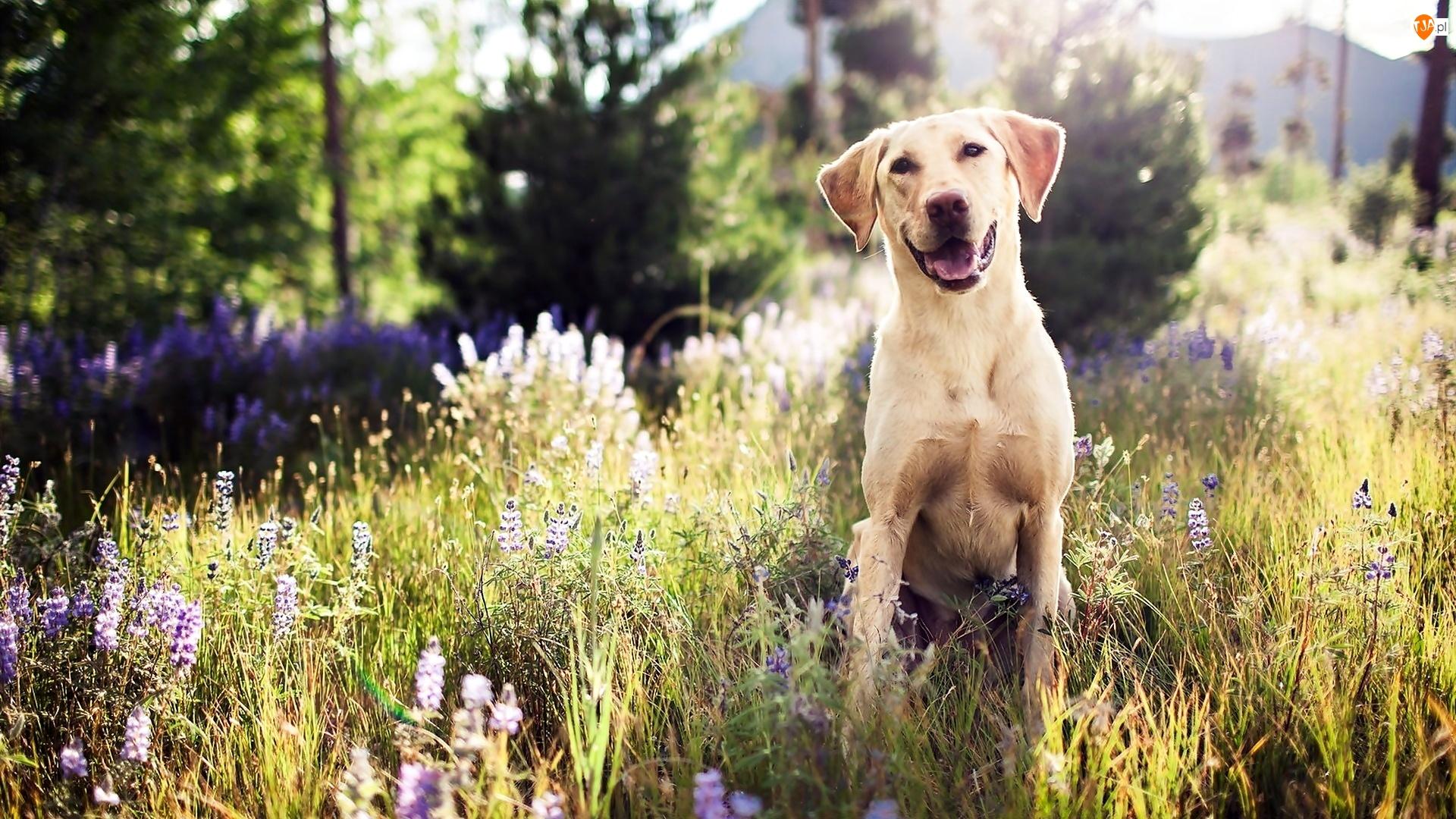 Uśmiech, Łąka, Pies, Golden retriever