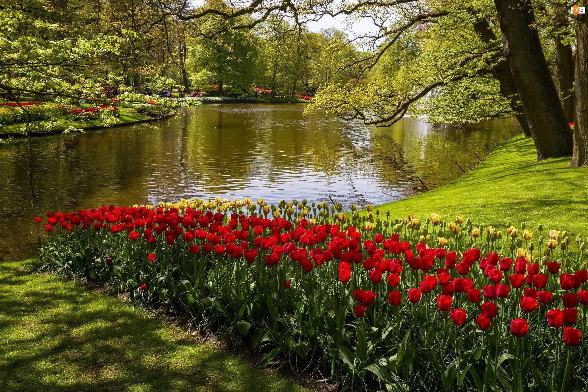 Kaukenhof, W, Rzeka, Wiosna, Tulipany, Holandia, Park, Lisse