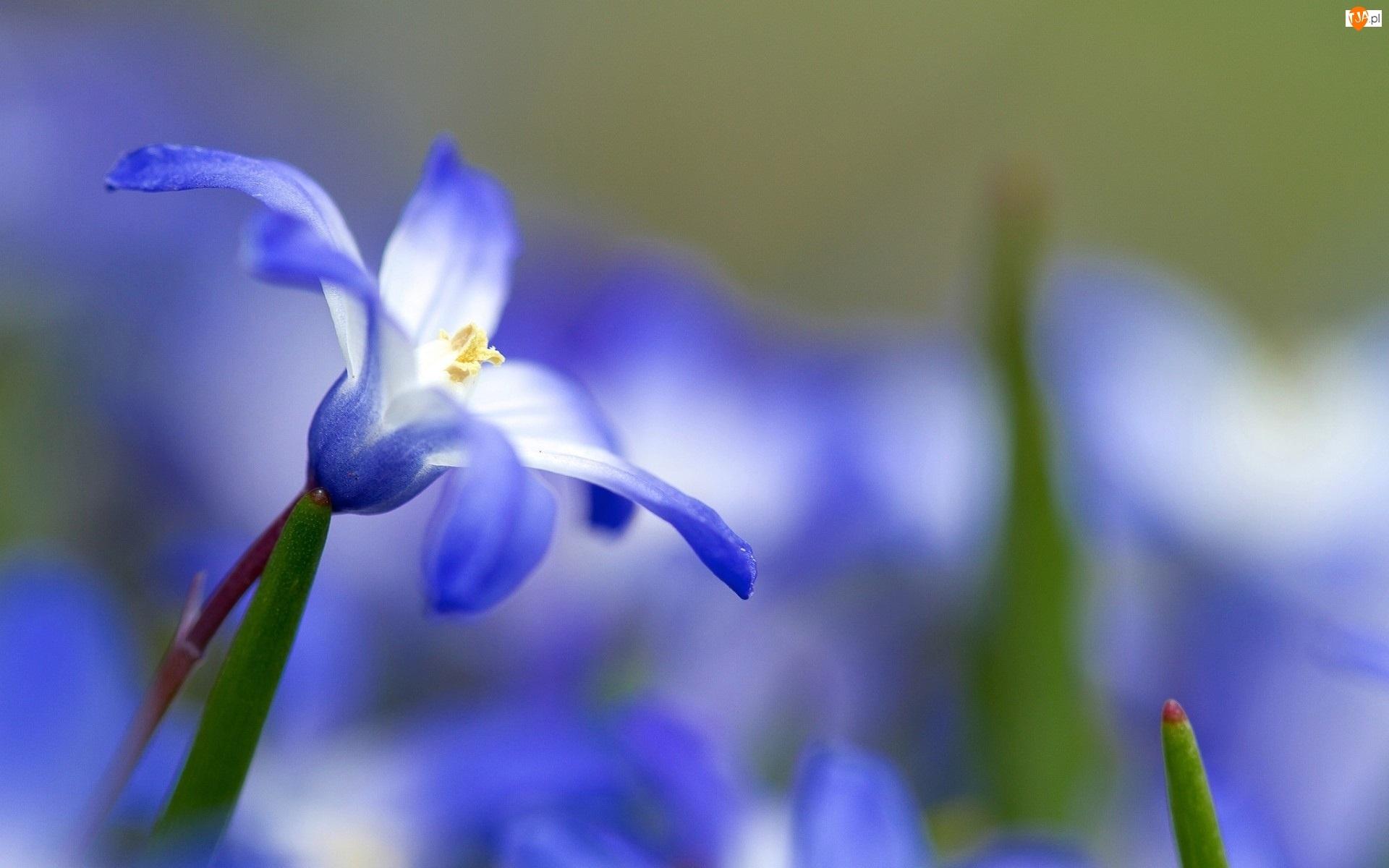 Śnieżnik, Błękitny, Kwiatek, Makro