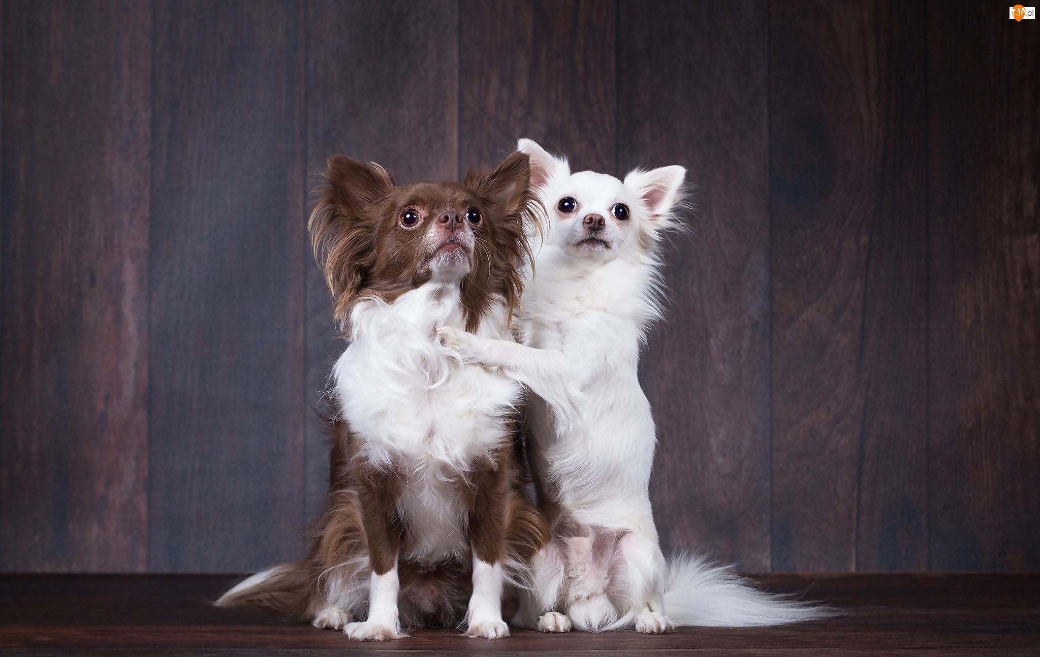 Pozowanie, Dwa, Pieski, Słodkie, Chihuahua