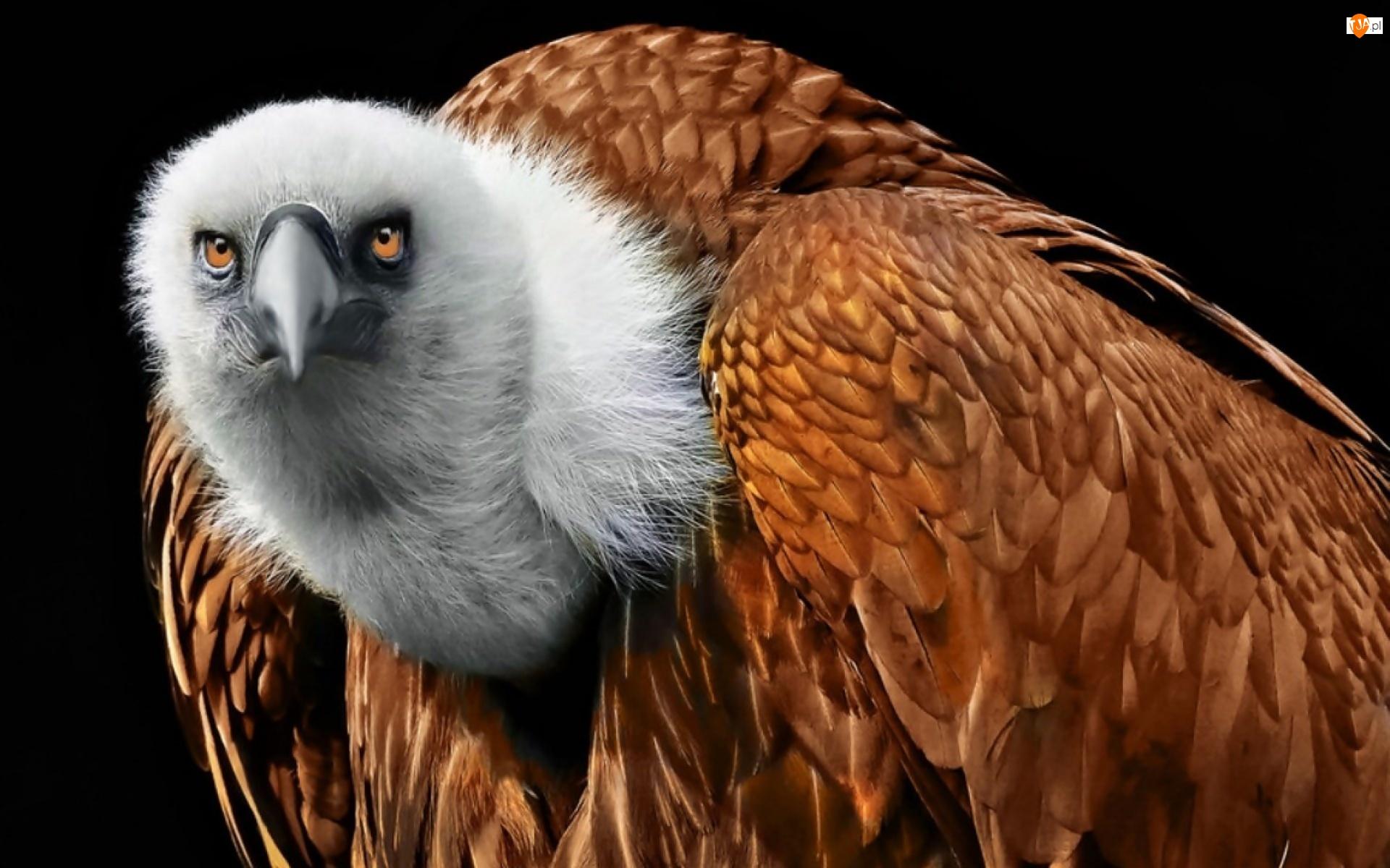 Płowy, Ptak, Sęp