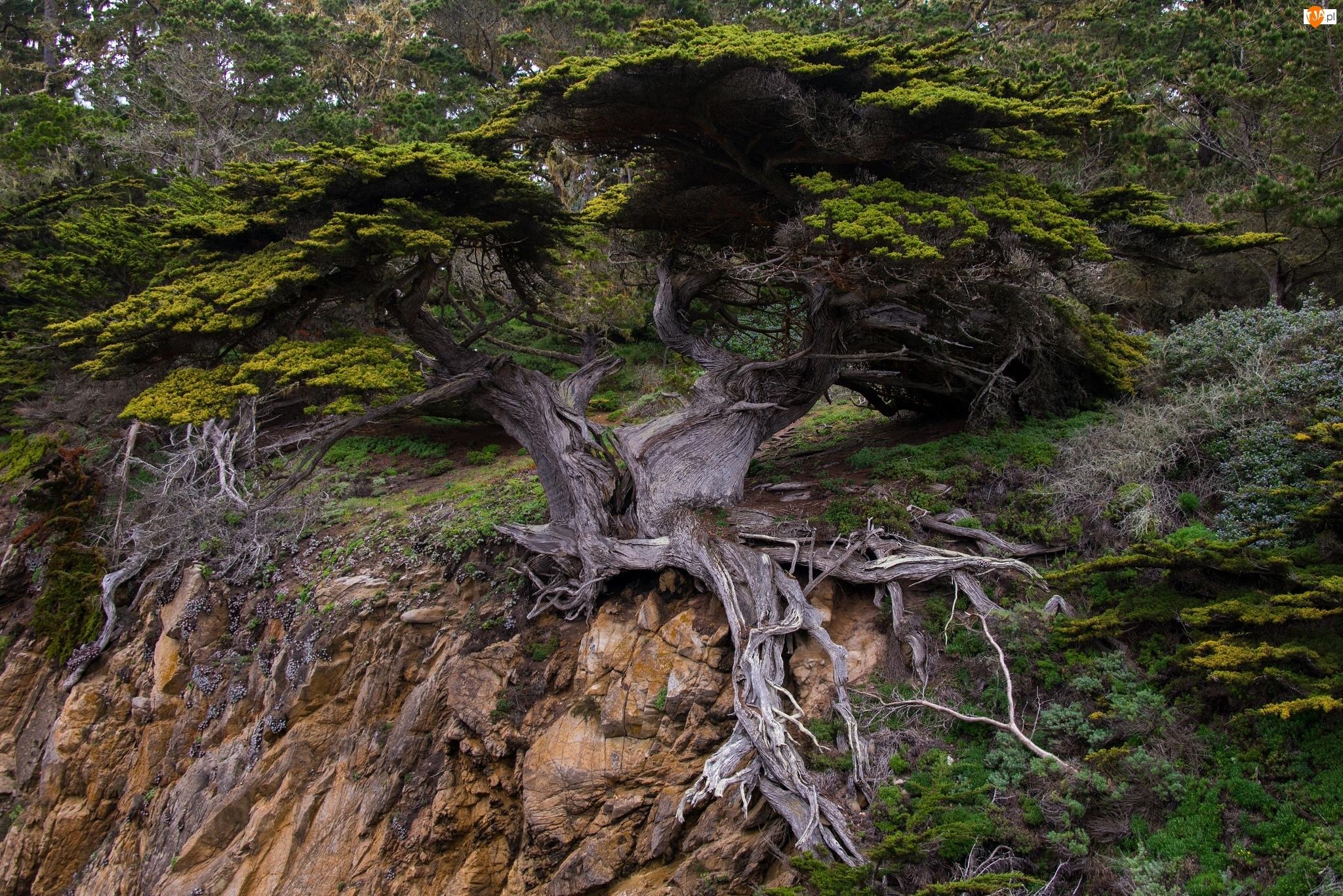 Korzenie, Urwisko, Drzewo