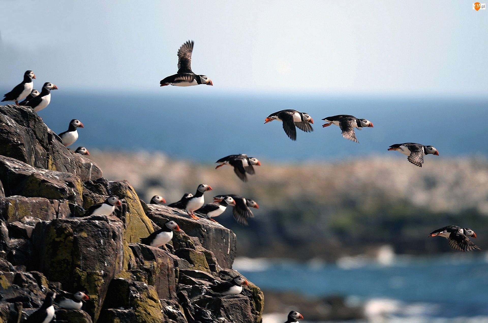 Ptaki, Skały, Maskonury, Morze