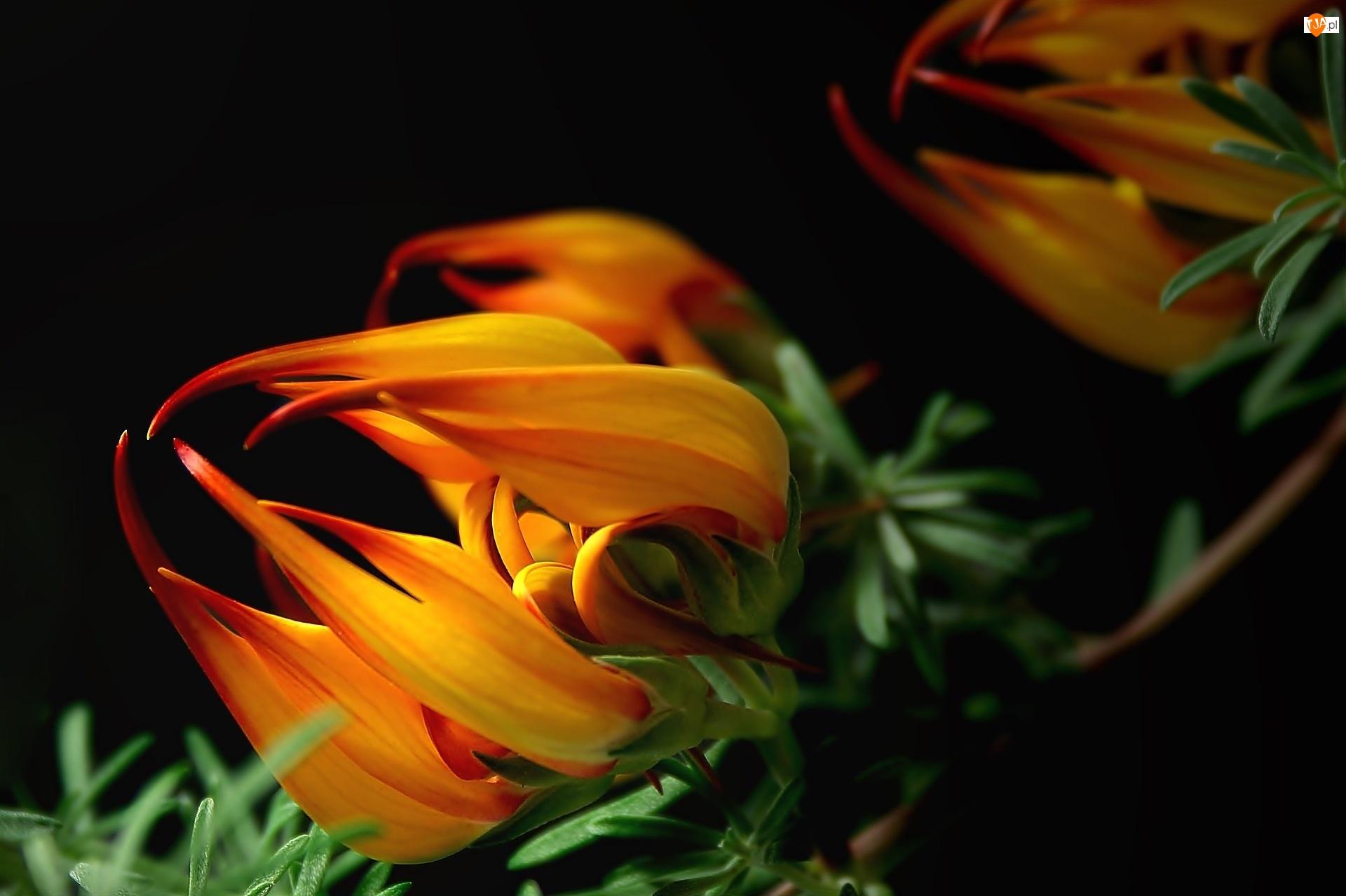 Makro, Kwiat, Gazania