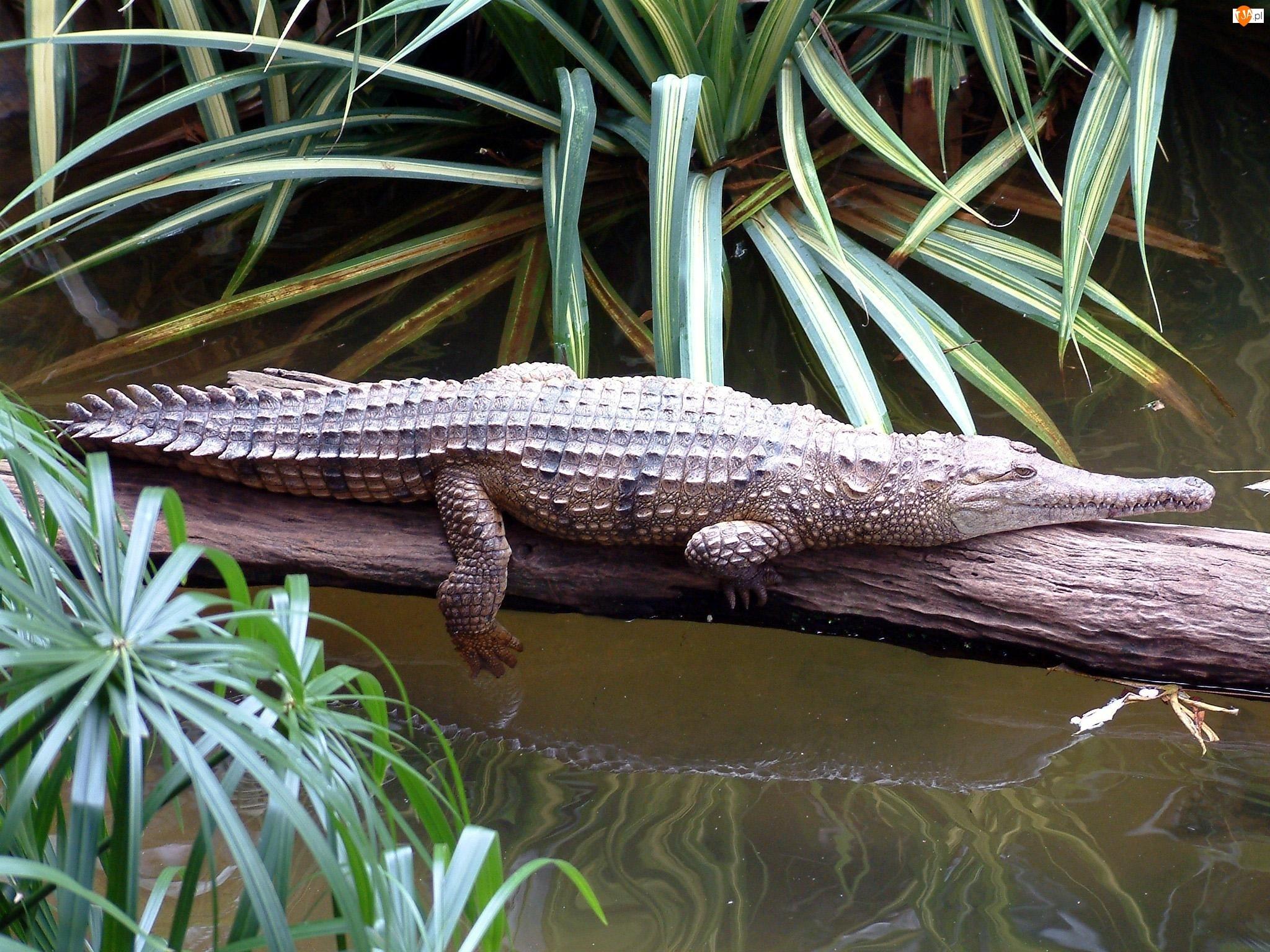 Aligator, Drzewa, Woda, Konar