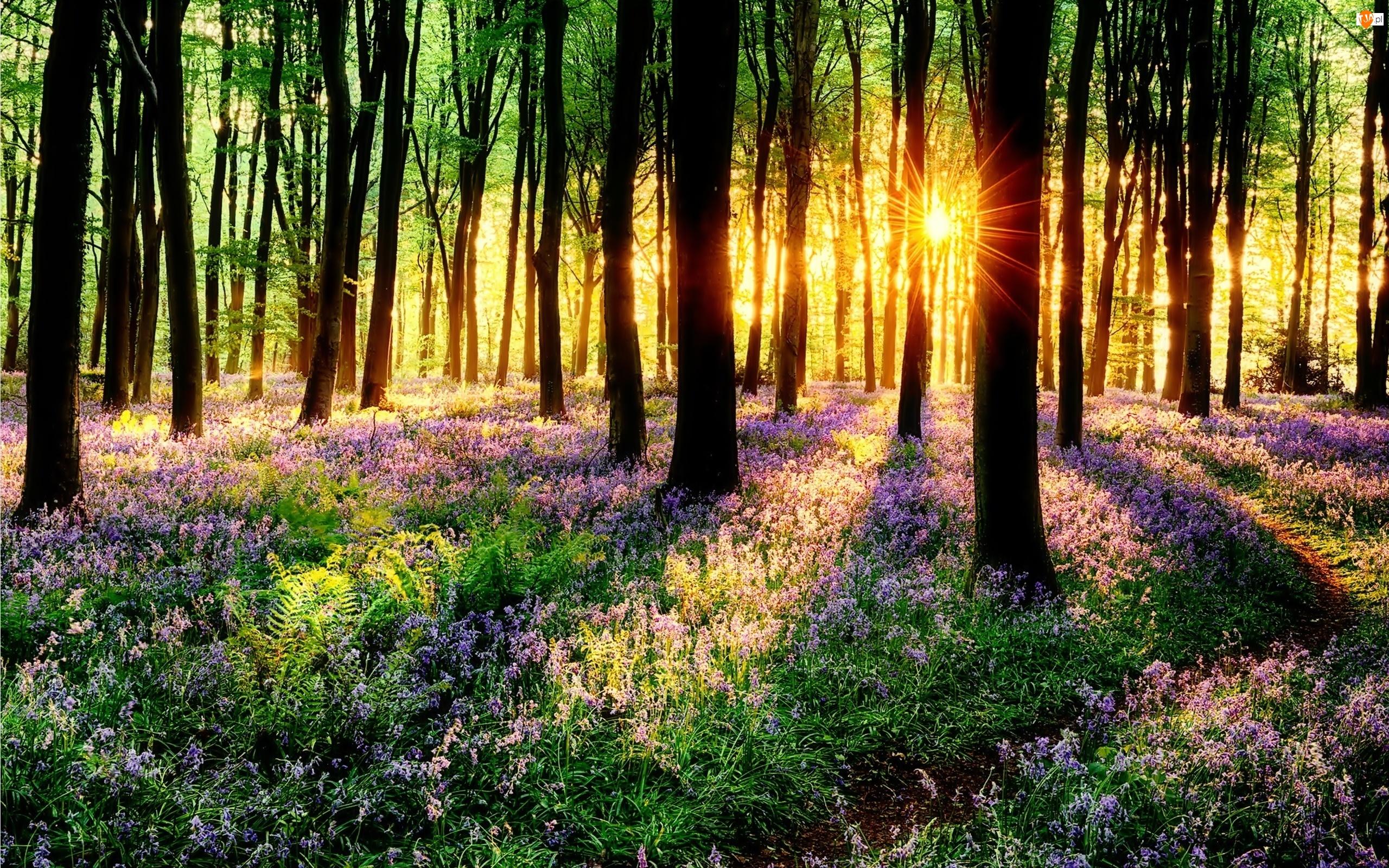 Kwiaty, Las, Promienie, Drzewa, Słońca