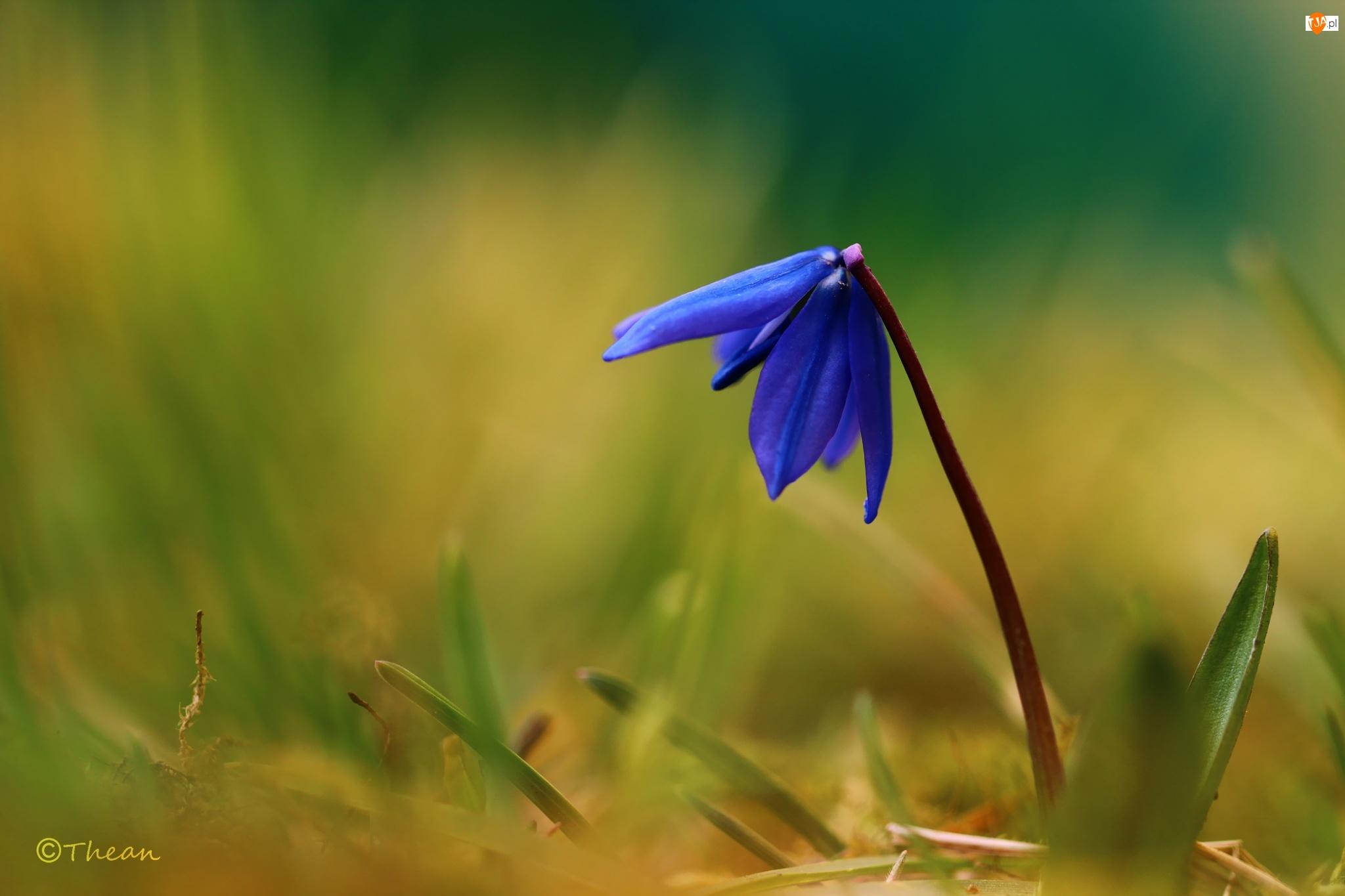 Cebulica Syberyjska, Wiosna, Niebieski, Kwiat