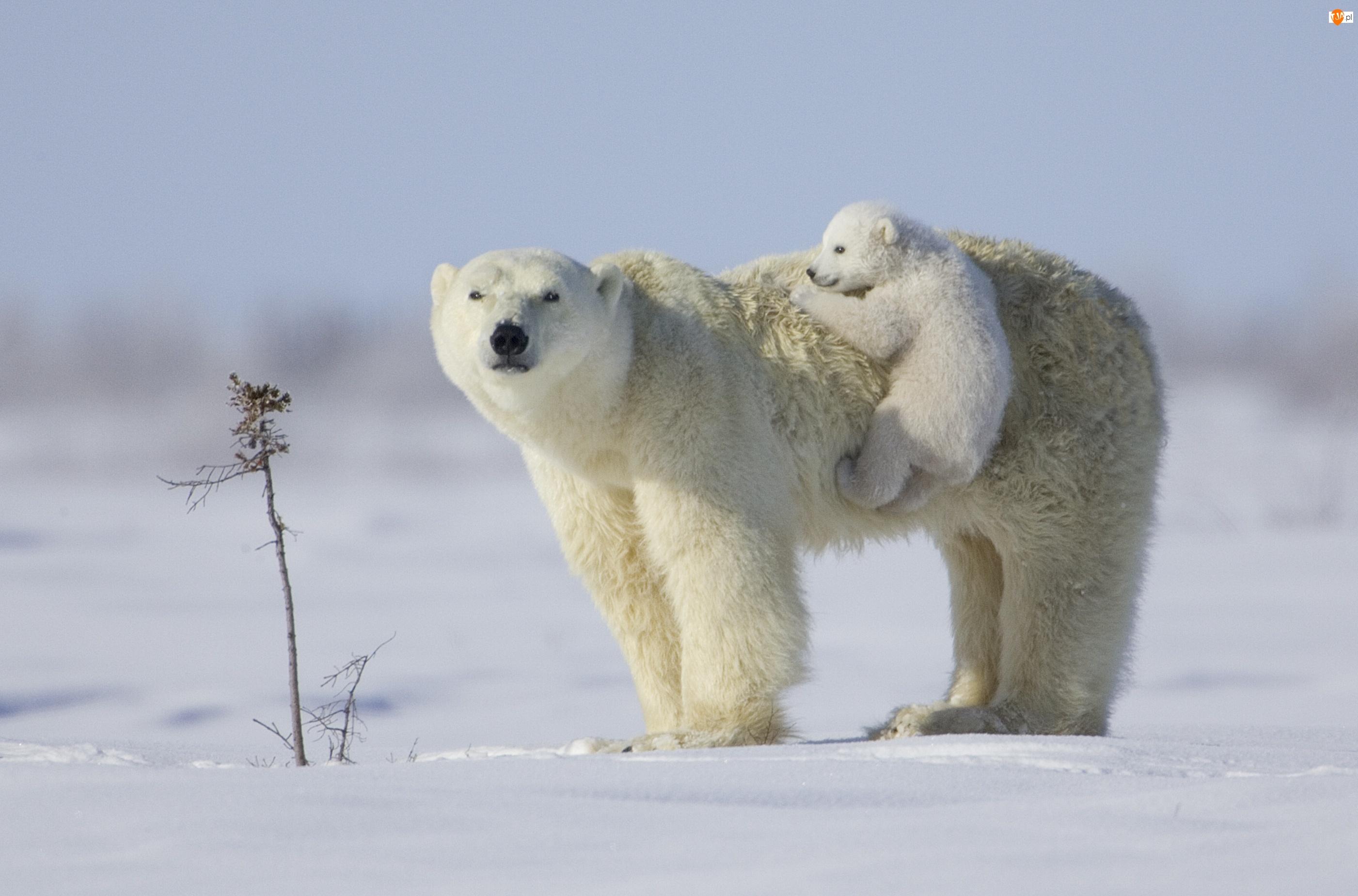 Śnieg, Niedźwiedzica, Niedźwiadek