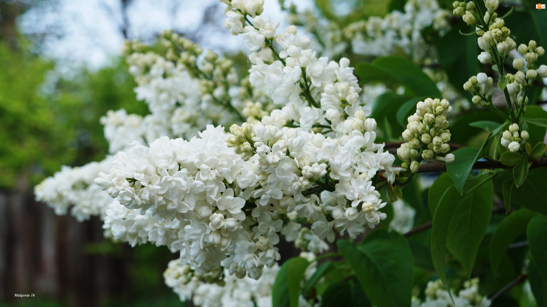 Biały, Gałązka, Kwitnący, Bez