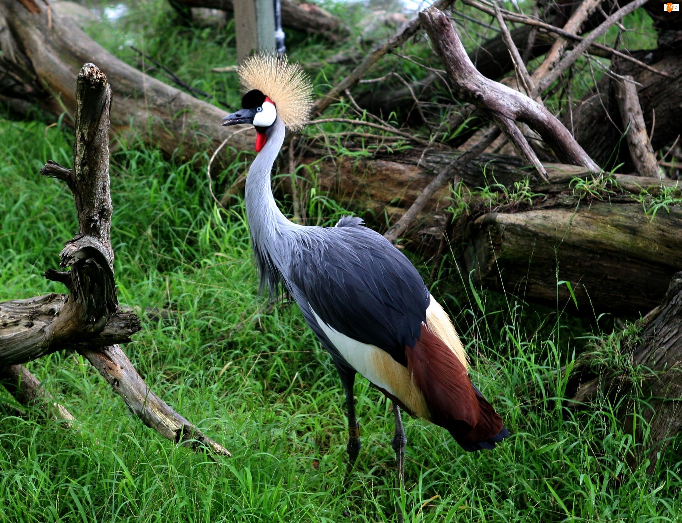 Ptak, Żuraw