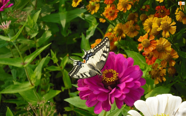 Motyl, Różowy, Kwiat