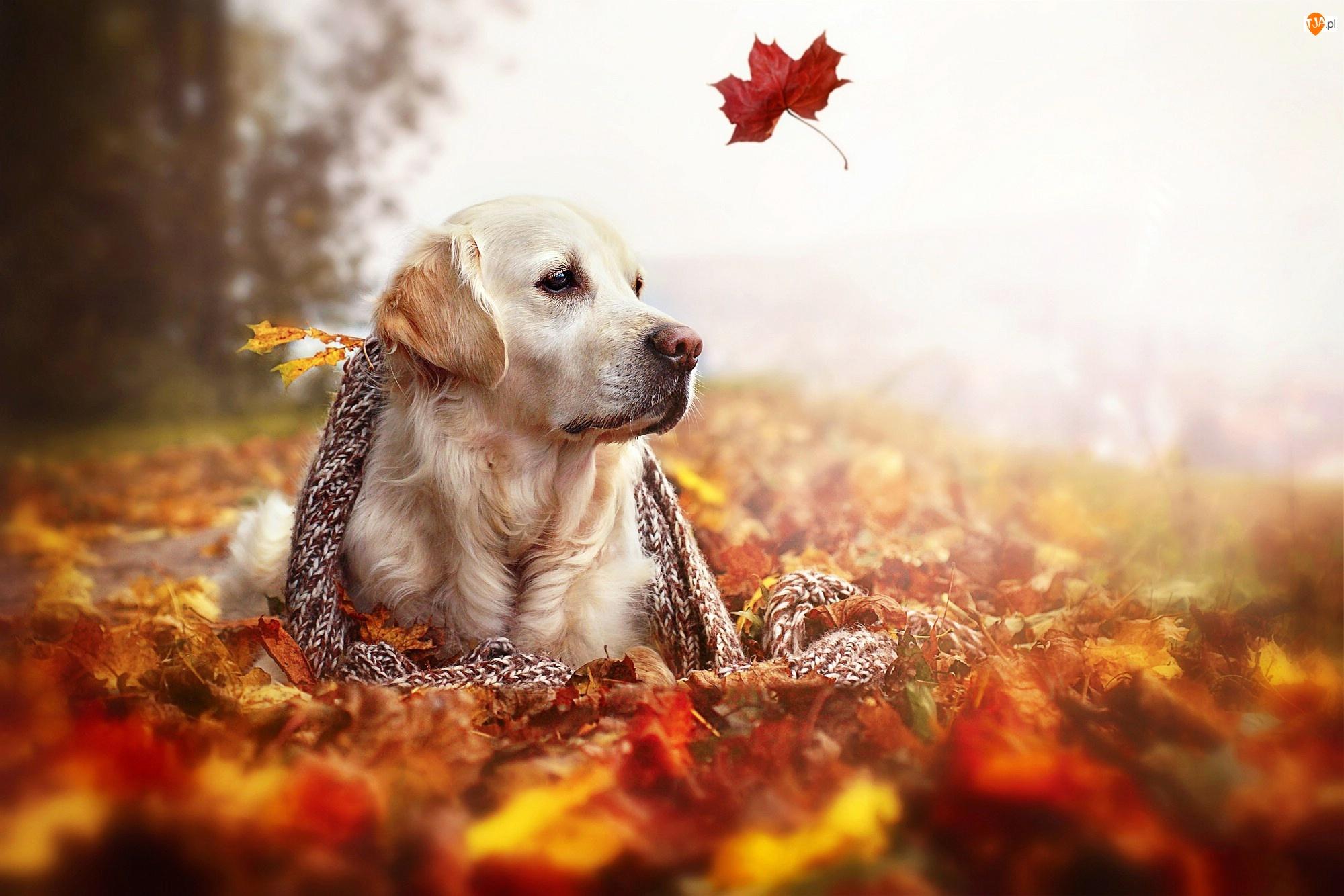 Golden Retriever, Pies, Liście, Szal, Jesień