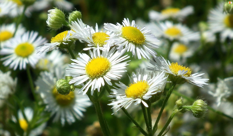 Przymiotno białe, Przyroda, Kwiaty