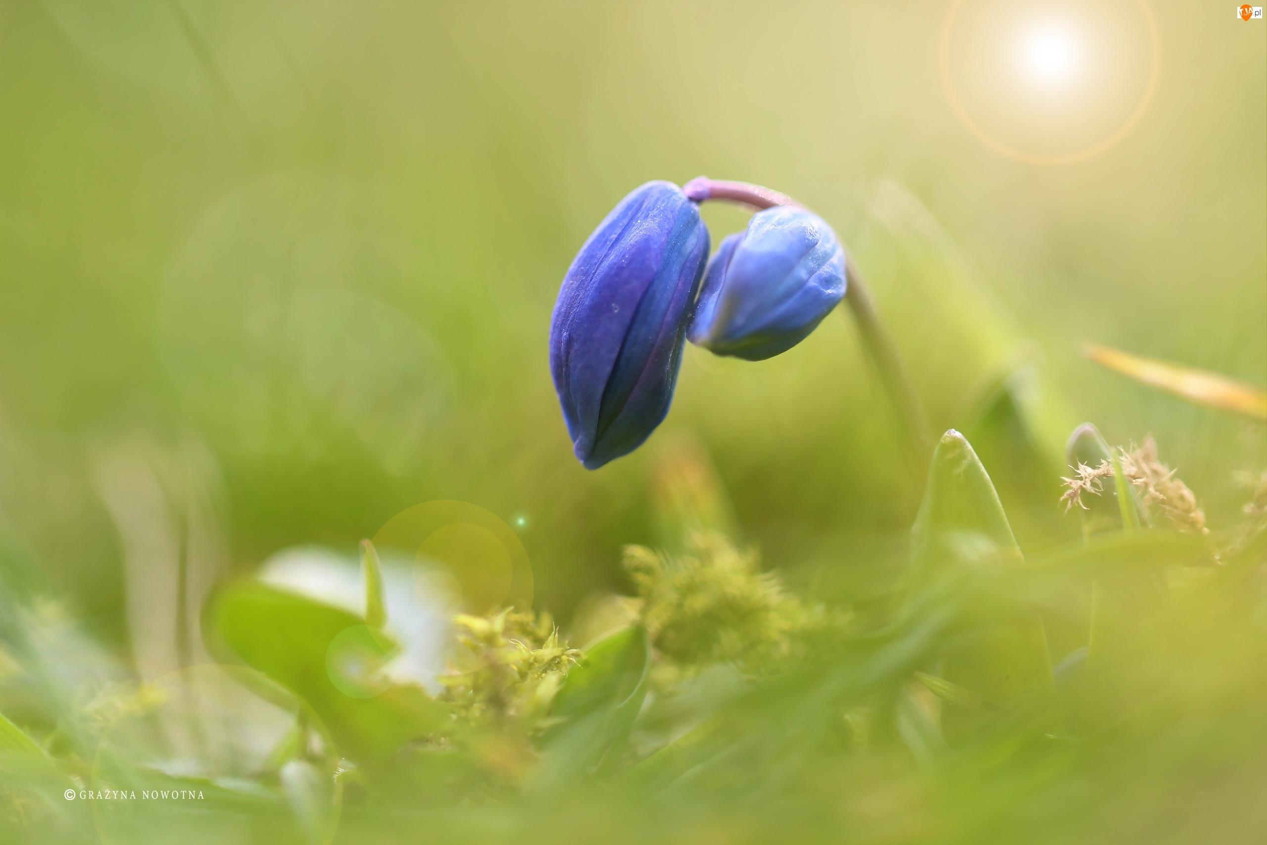 Cebulica Syberyjska, Pąk, Niebieski, Kwiat