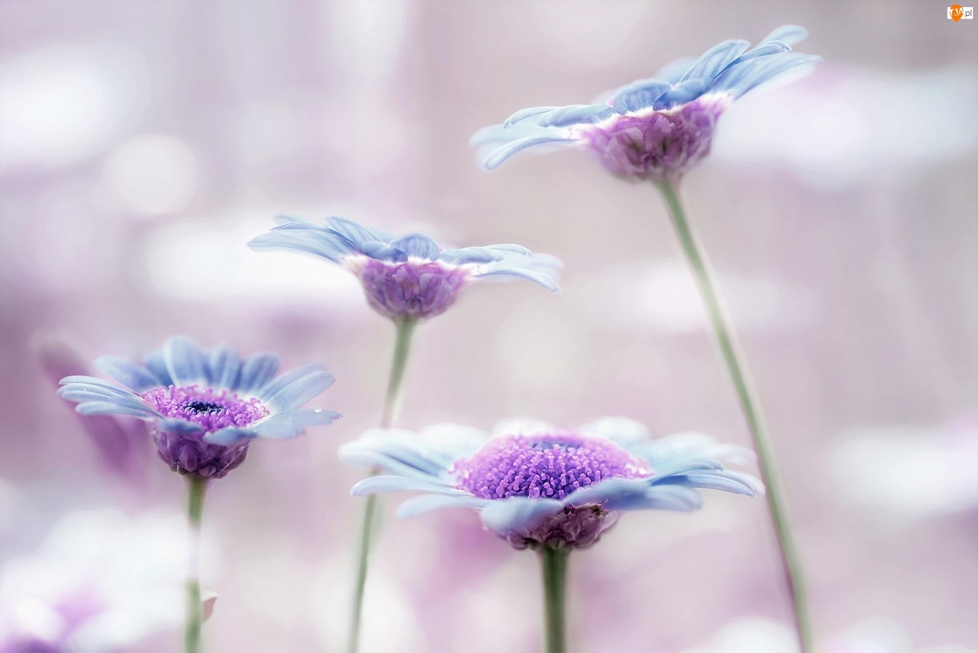 Słoneczniczek, Astrowatych, Rodzina, Kwiatów