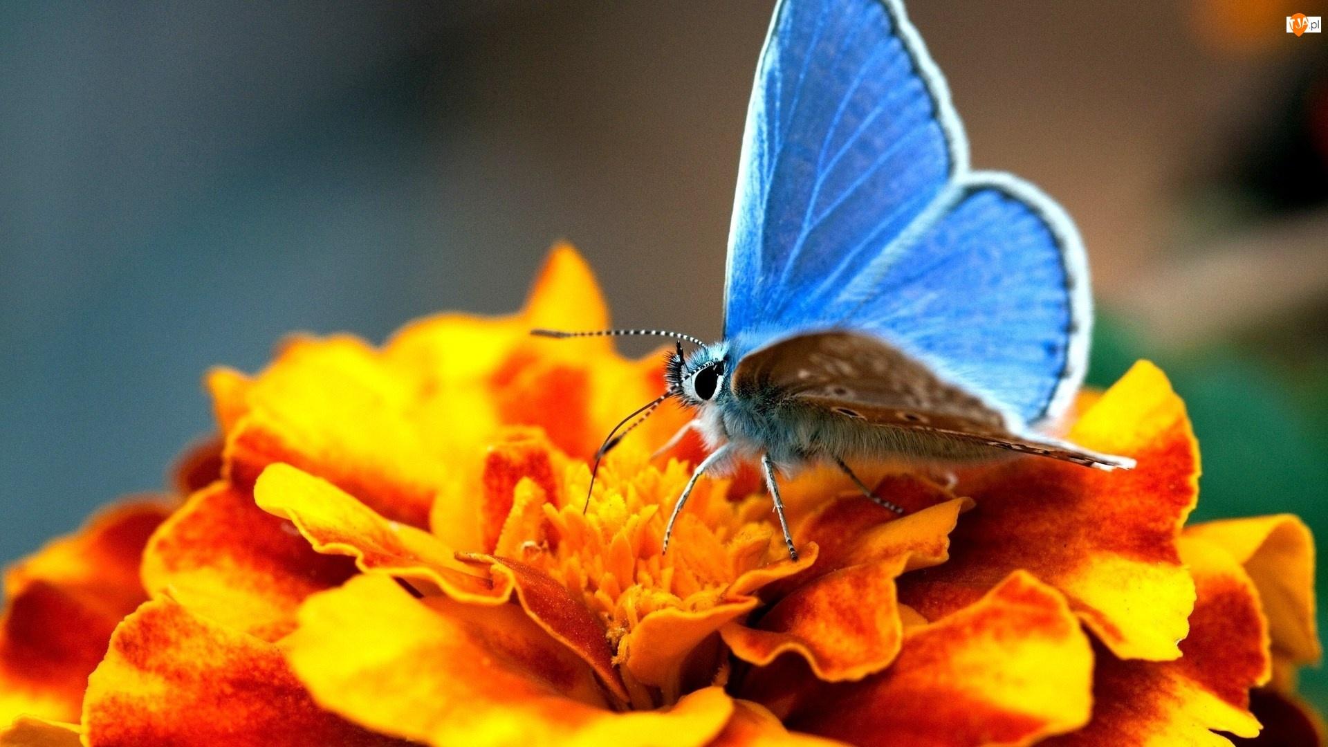 Cynia, Niebieski, Modraszek ikar, Motyl, Kwiat