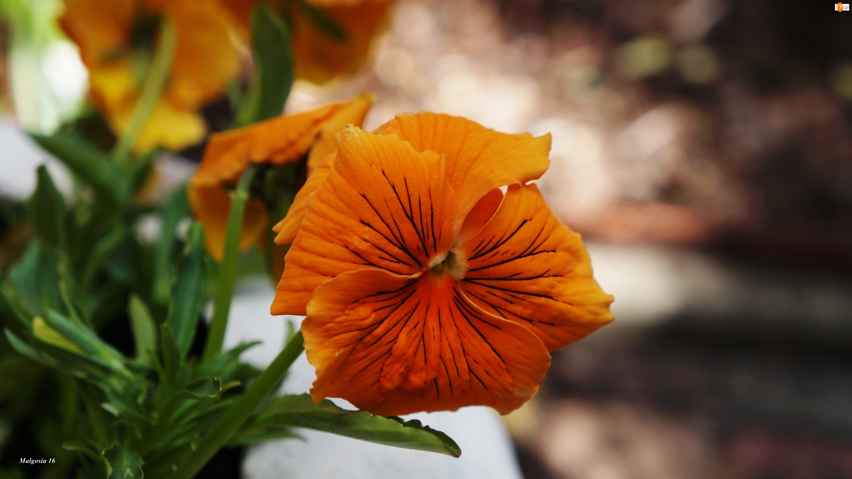 Bratek, Kwiat, Pomarańczowy