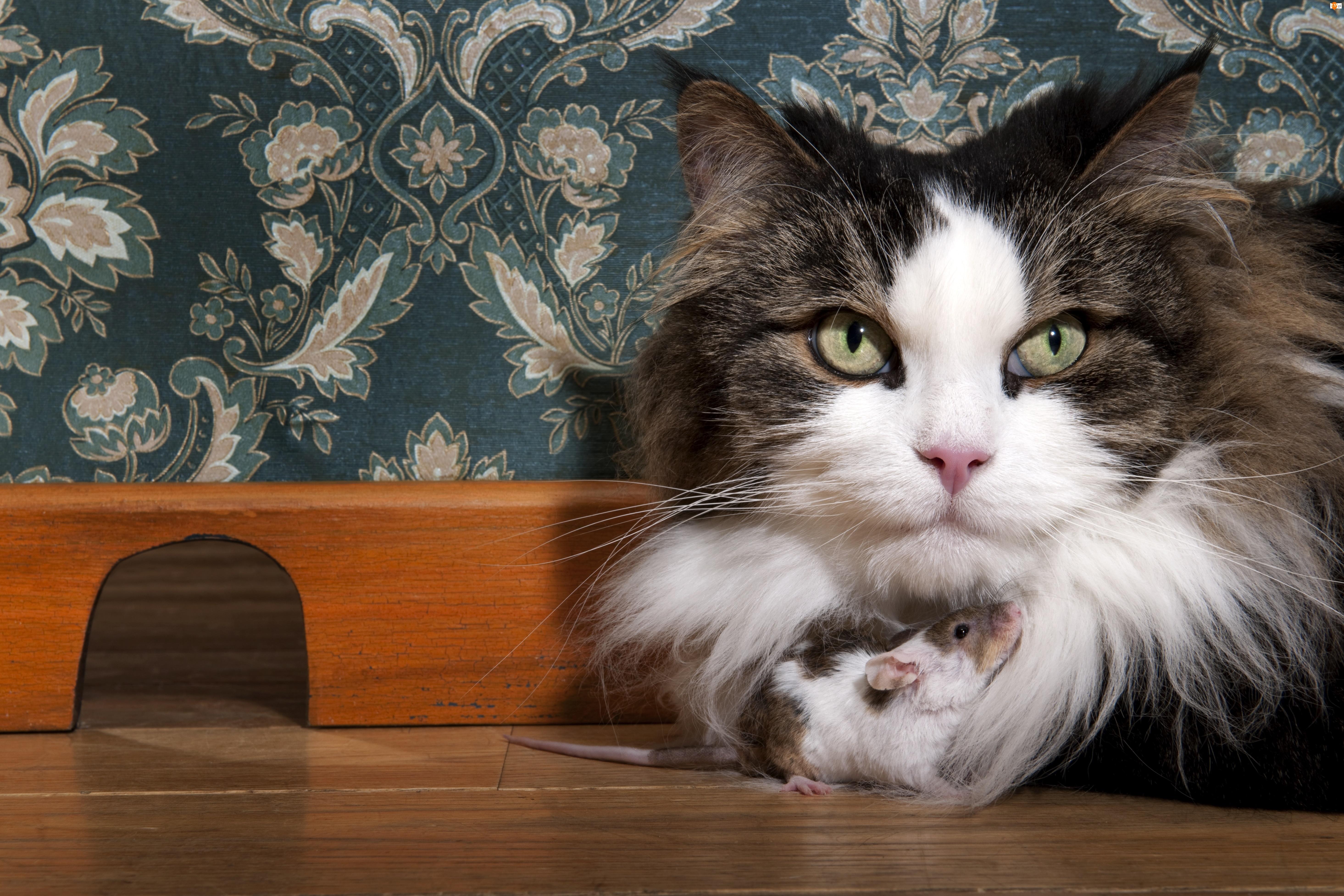 Kot, Myszka