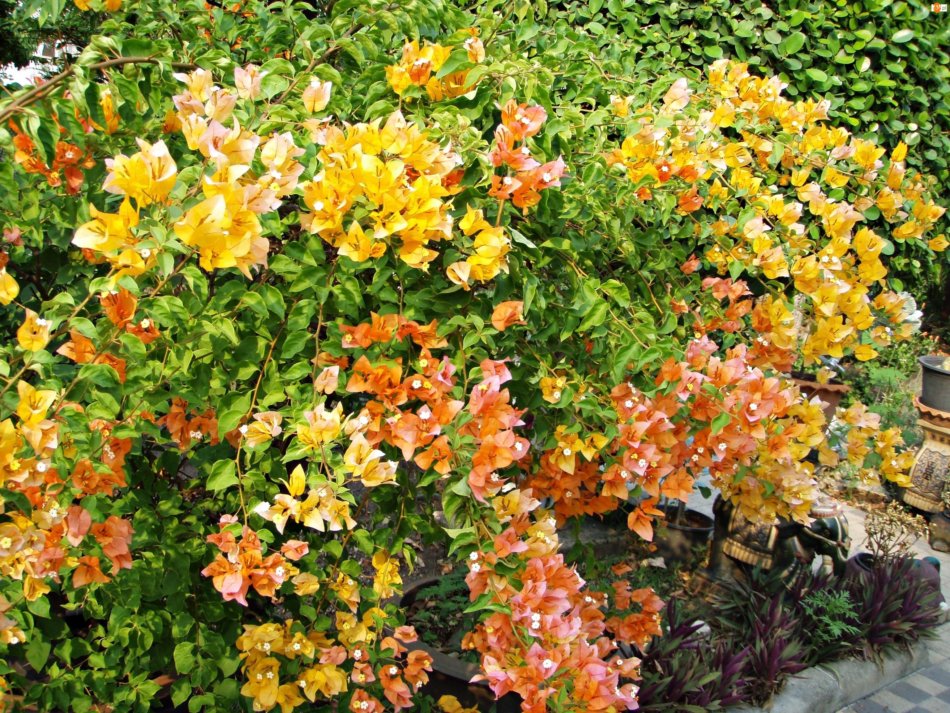 Ogród, Bugenwilla, Kwitnąca, Żółta