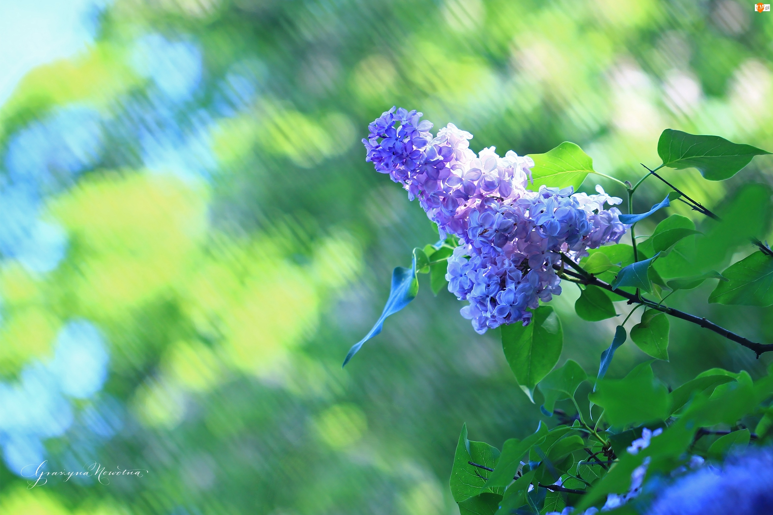 Fioletowy, Krzew, Bez, Kwiaty