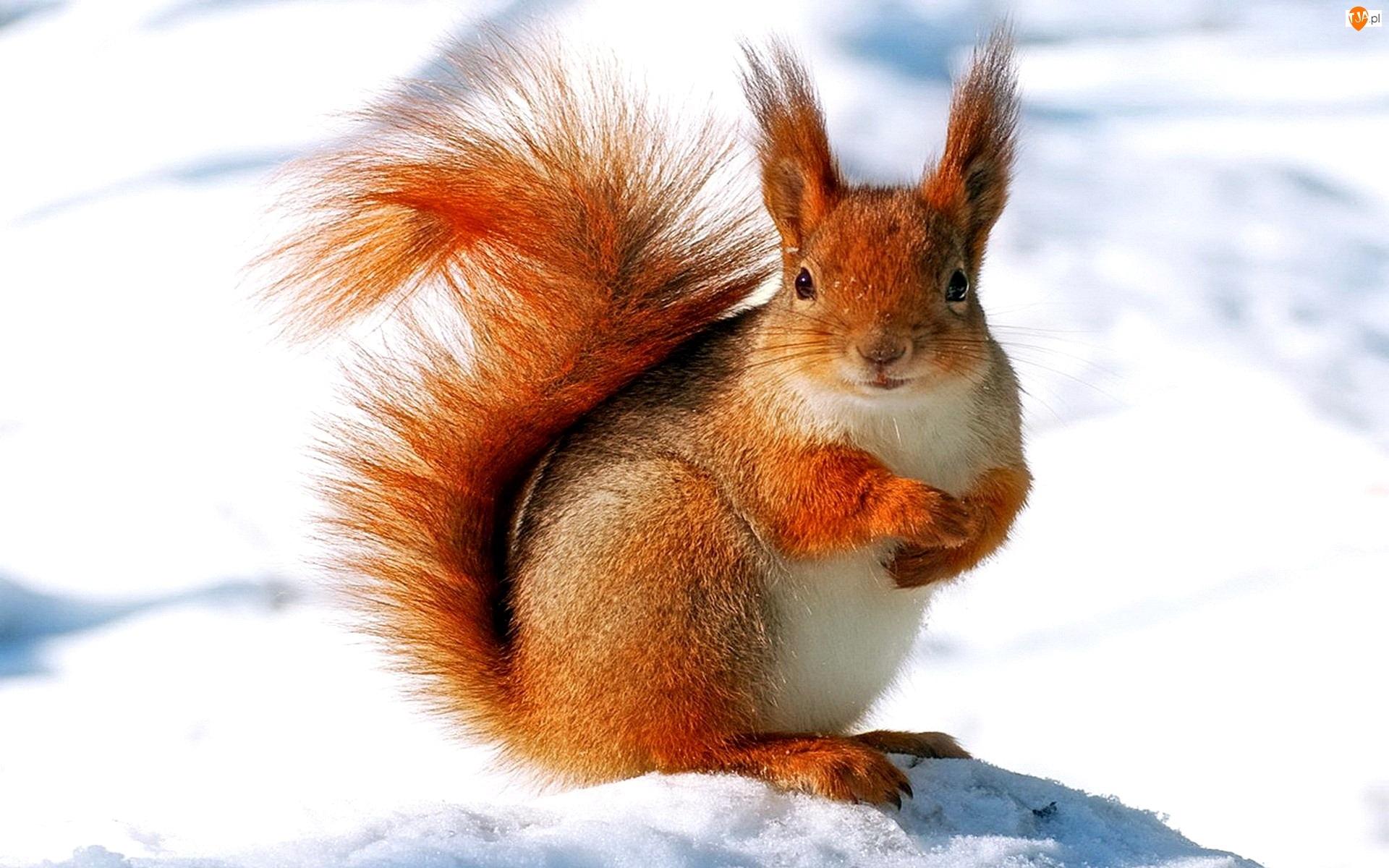 Zima, Wiewiórka, Śnieg
