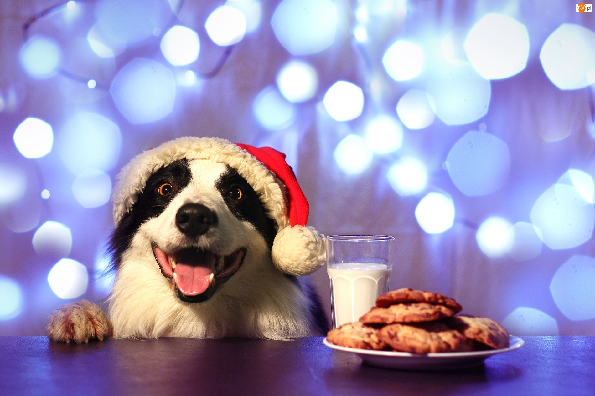 Jedzenie, Pies, Border Collie