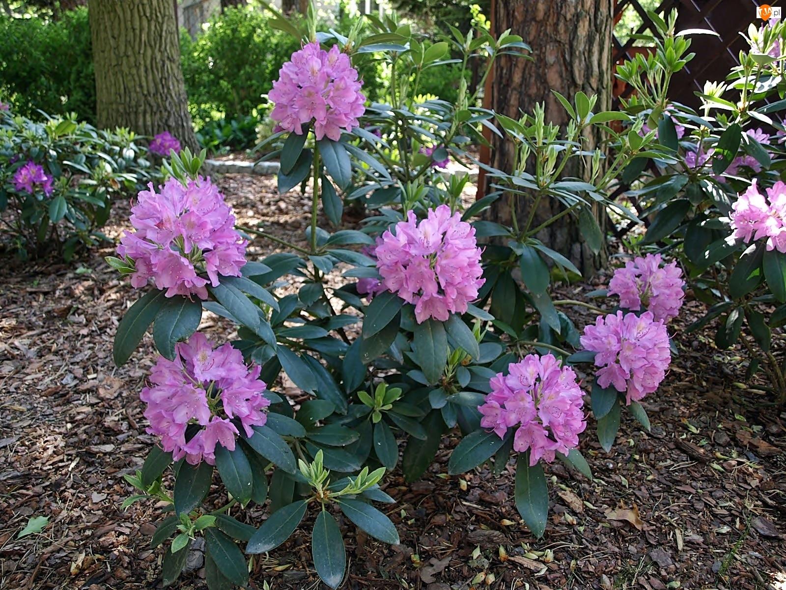 Wiosna, Rododendron, Park, Kwitnący