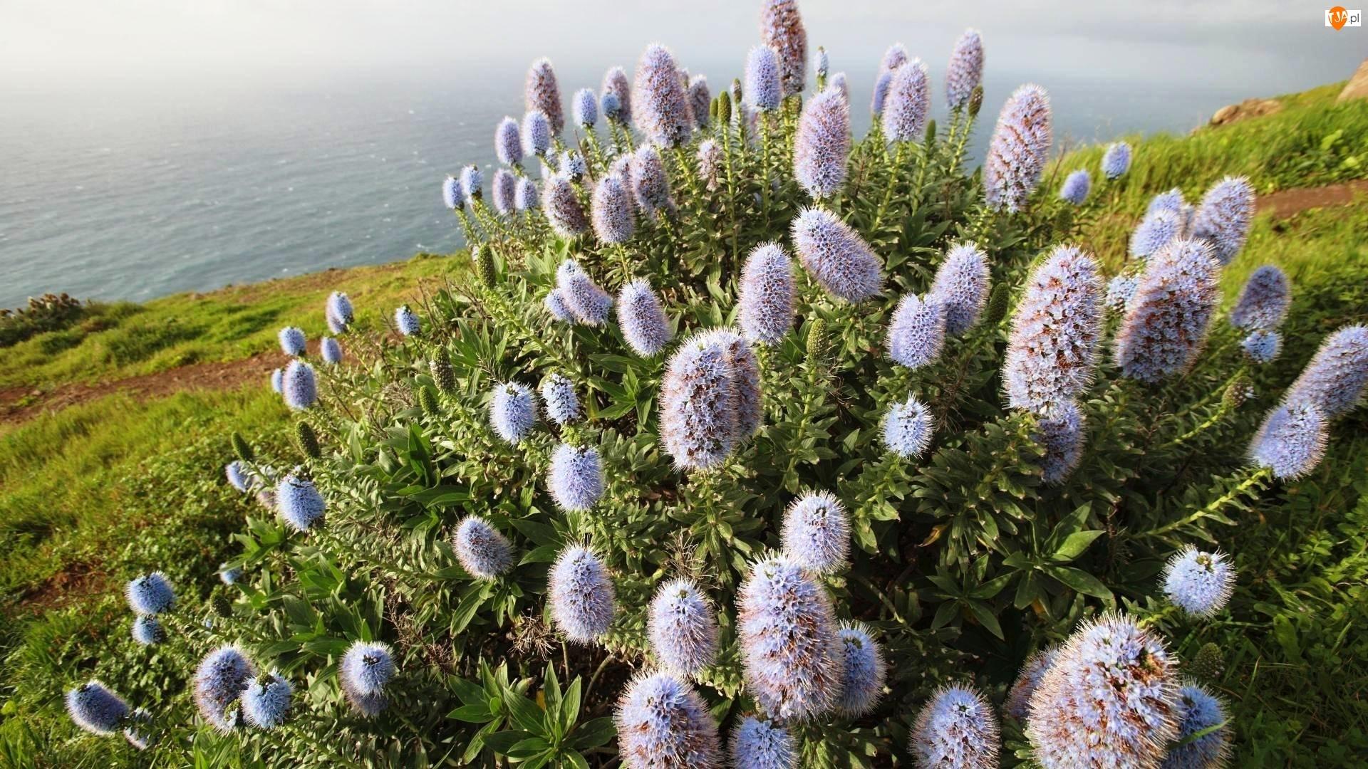 Morze, Portugalia, Kwitnący, Krzew