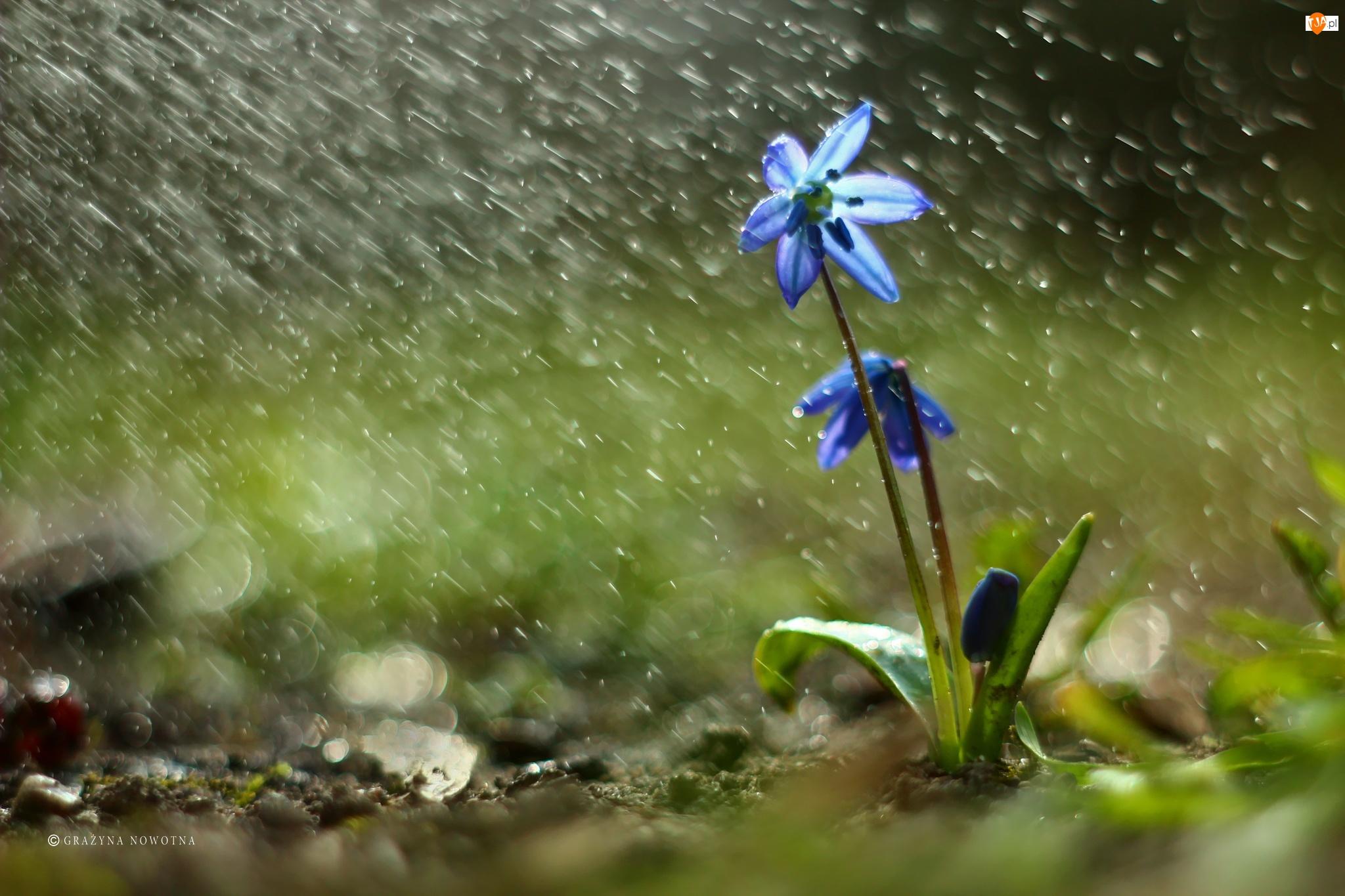 Cebulica Syberyjska, Deszcz, Niebieski, Kwiat