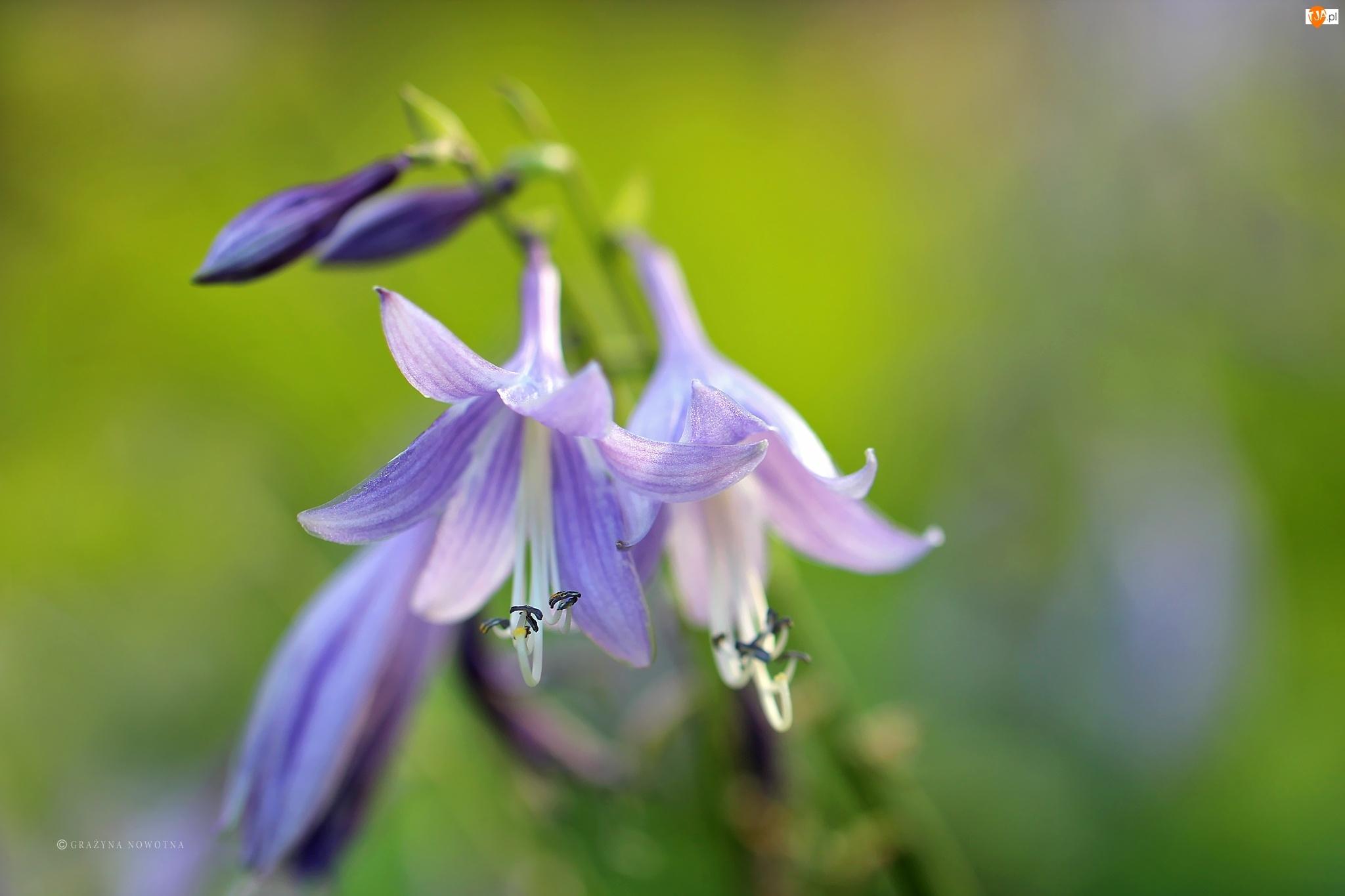 Kwiaty, Dzwonki, Fioletowe