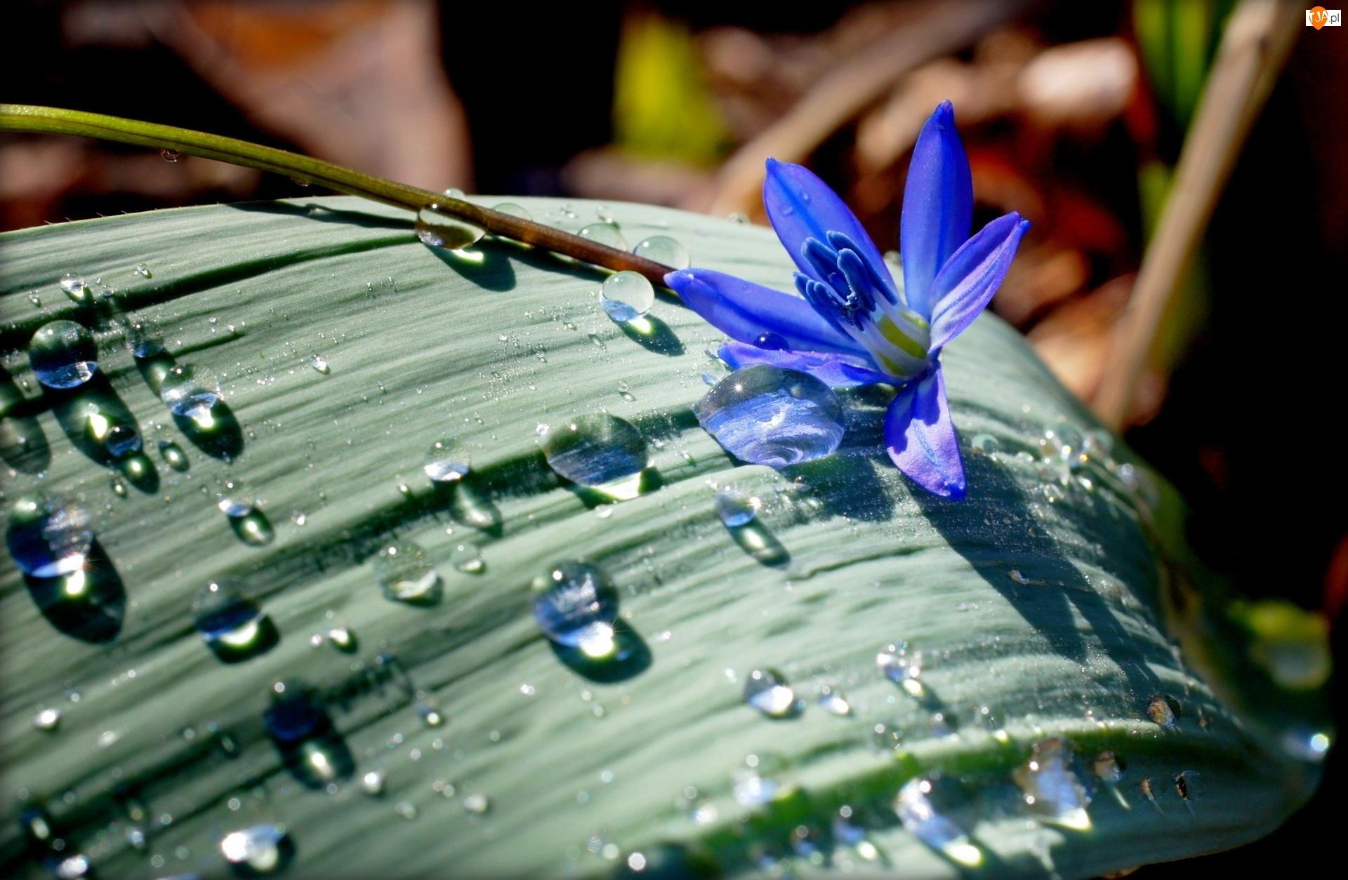 Niebieski, Liść, Cebulica, Deszcz, Kwiatek, Krople