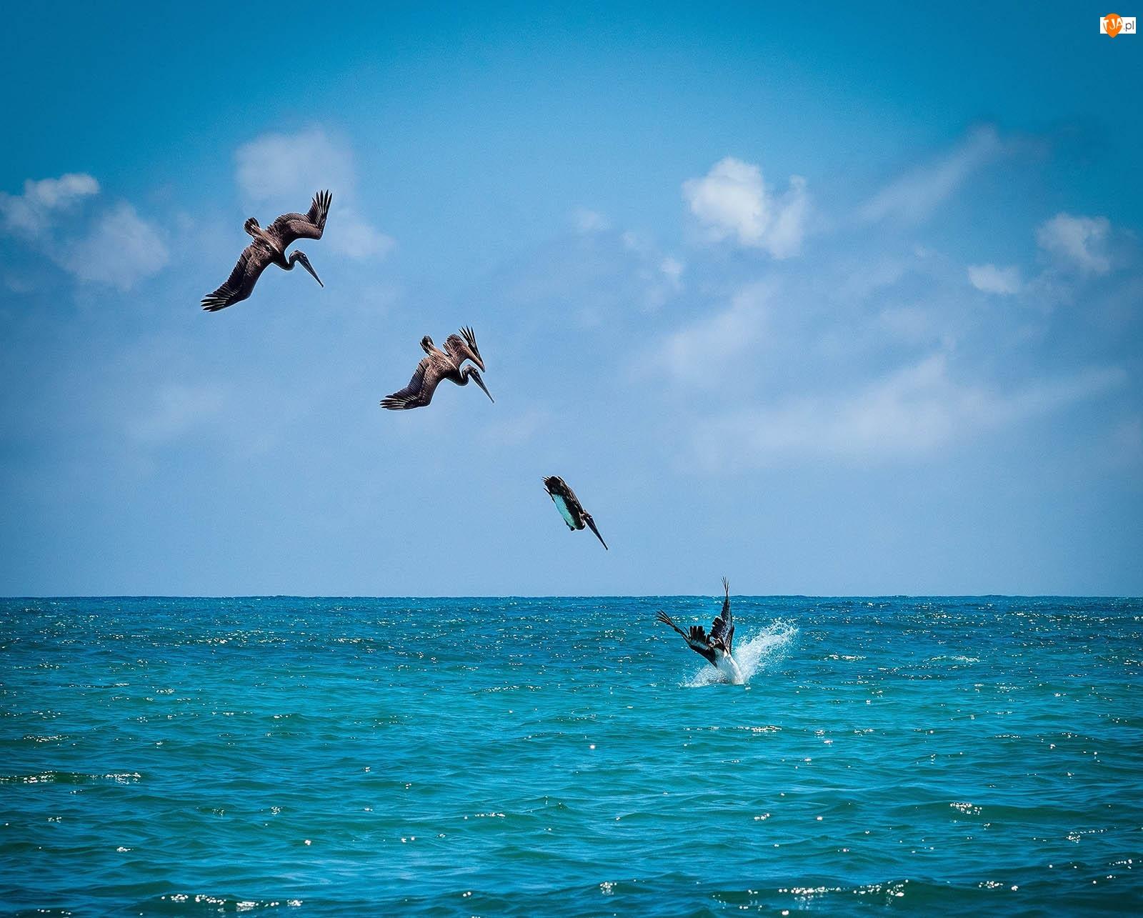 Pelikany, Morze