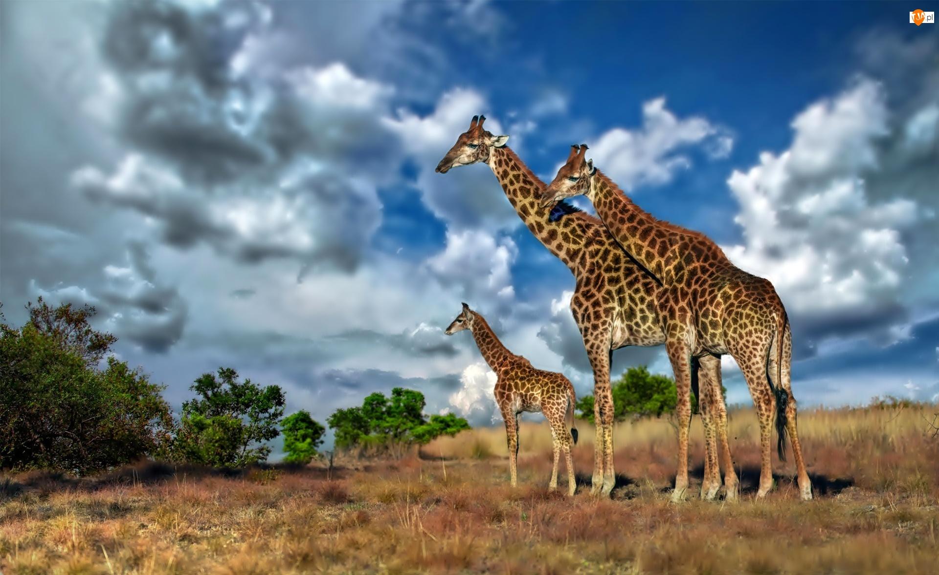 Afryka, Żyrafy, Chmury, Rodzina, Sawanna