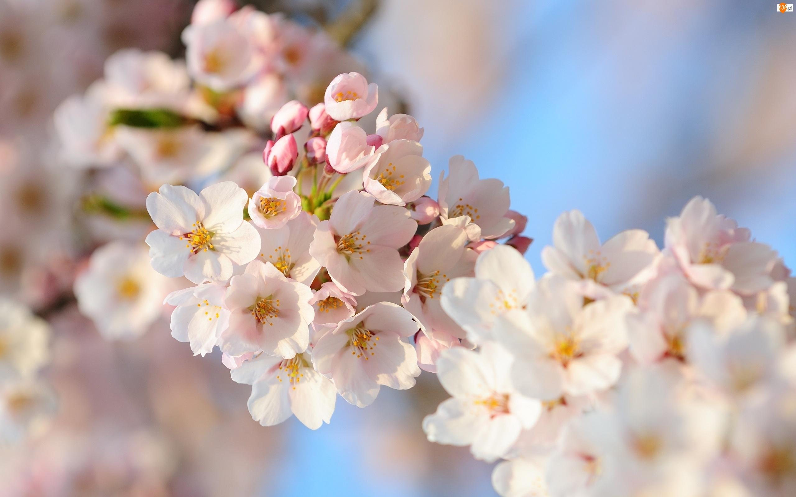 Białe, Kwiaty, Wiśni