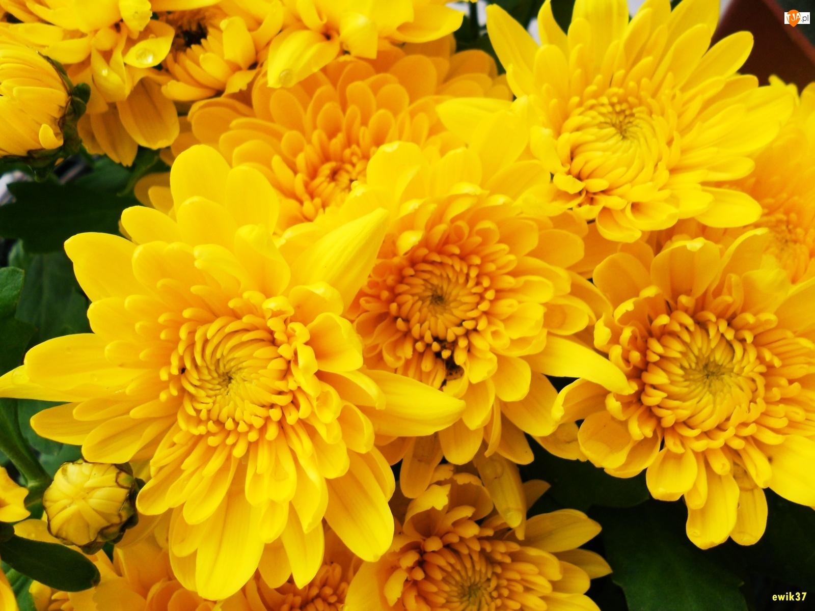 Żółta, Chryzantema