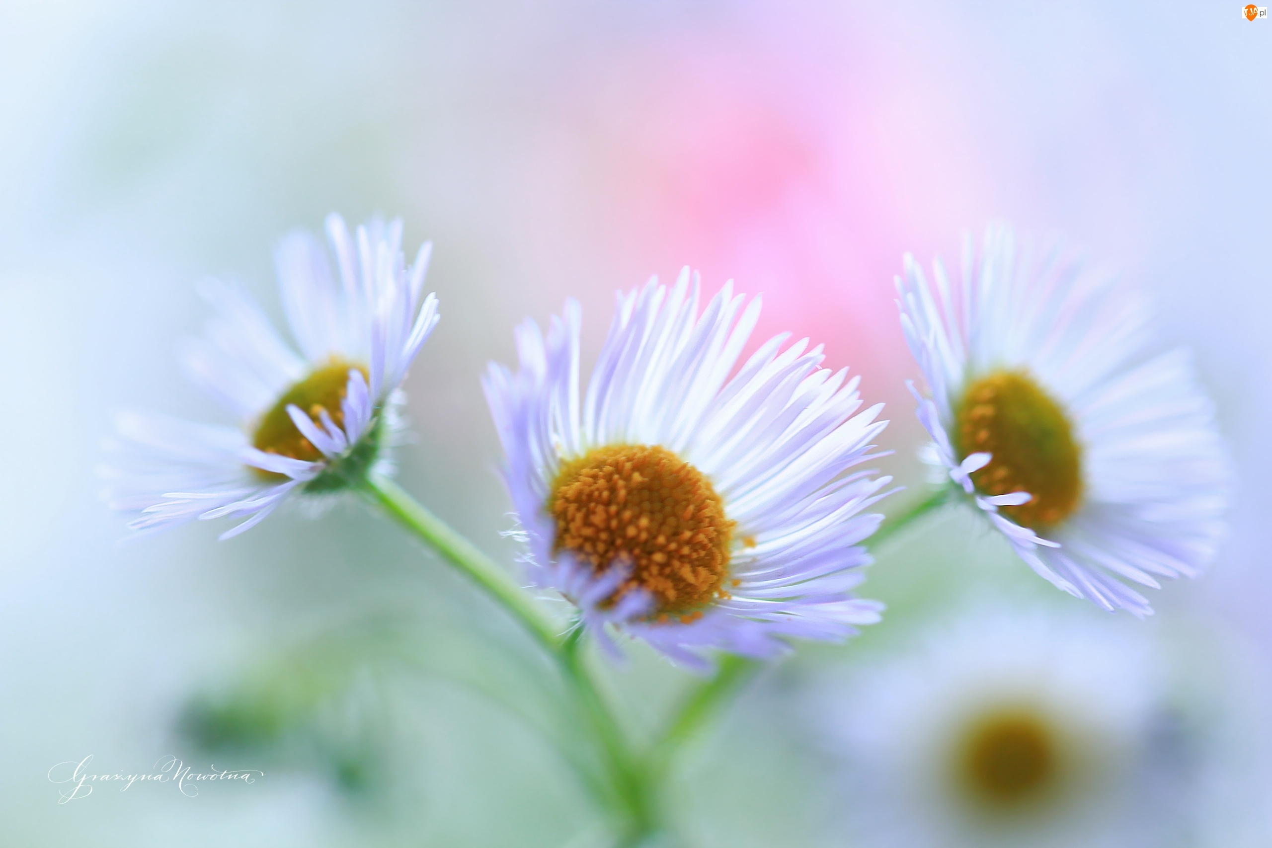 Przymiotno białe, Białe, Kwiaty